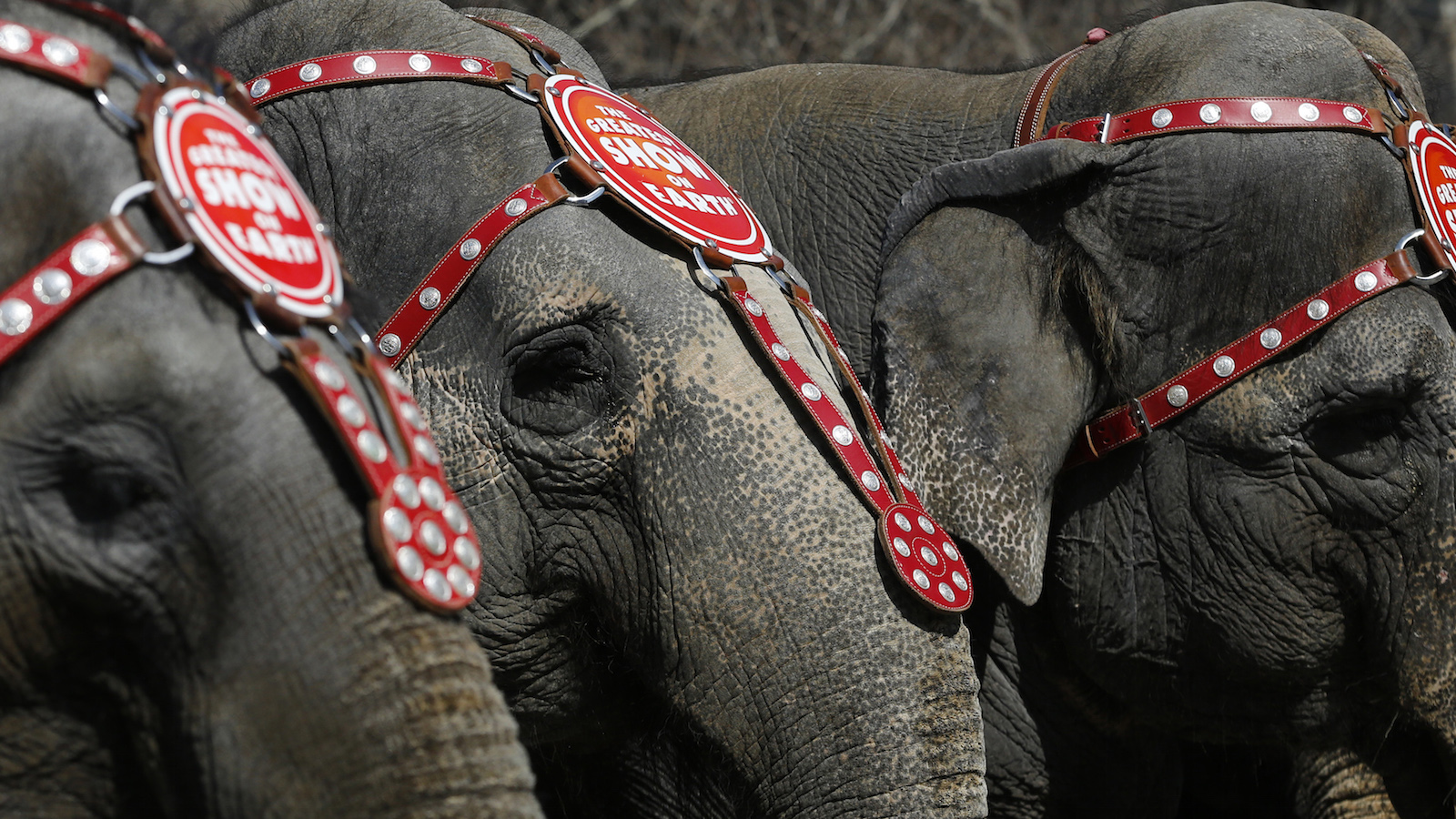 Elephants from the Ringling Bros. and Barnum & Bailey Circus line up for a photo under the Brooklyn Bridge in the Brooklyn Borough of New York, March 20, 2013. The circus will be performing in Brooklyn from March 20 till April 1.  REUTERS/Brendan McDermid (UNITED STATES - Tags: ANIMALS SOCIETY) - RTR3F8MX