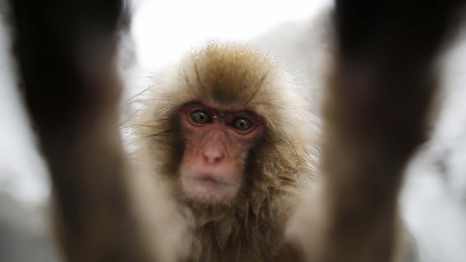 A young Japanese Macaques (or Snow Monkey) touches the camera lens as they gather to soak in a hot spring at a snow-covered valley in Yamanouchi town, central Japan January 20, 2014.   (JAPAN - Tags: ANIMALS SOCIETY TRAVEL) - RTX17M39