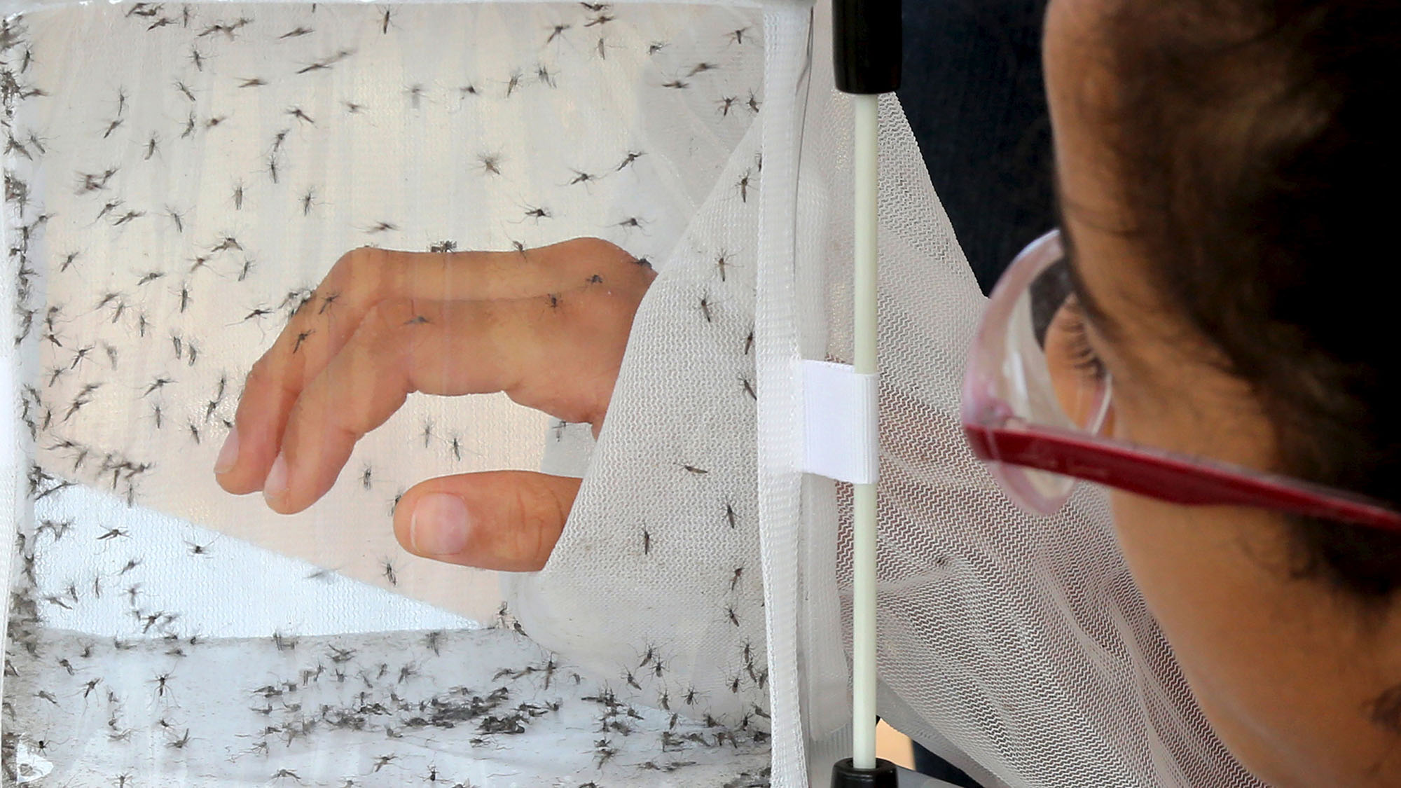 A girl puts her hand in a box with male genetically modified Aedes aegypti mosquitoes at an educational exhibition by British biotechnology company Oxitec in Piracicaba Brazil, March 5, 2015. An epidemic of dengue fever is fanning public anger over what Brazilians say is President Dilma Rousseff's biggest challenge - the sad state of the national healthcare system. About 750,000 cases of the mosquito-borne virus have been confirmed this year in this country of 200 million people, leading to waits of four hours or longer at some hospitals. The disease, which causes fever and joint pain, has killed 229 people so far this year - up 45 percent from the same period in 2014. Picture taken March 5, 2015.