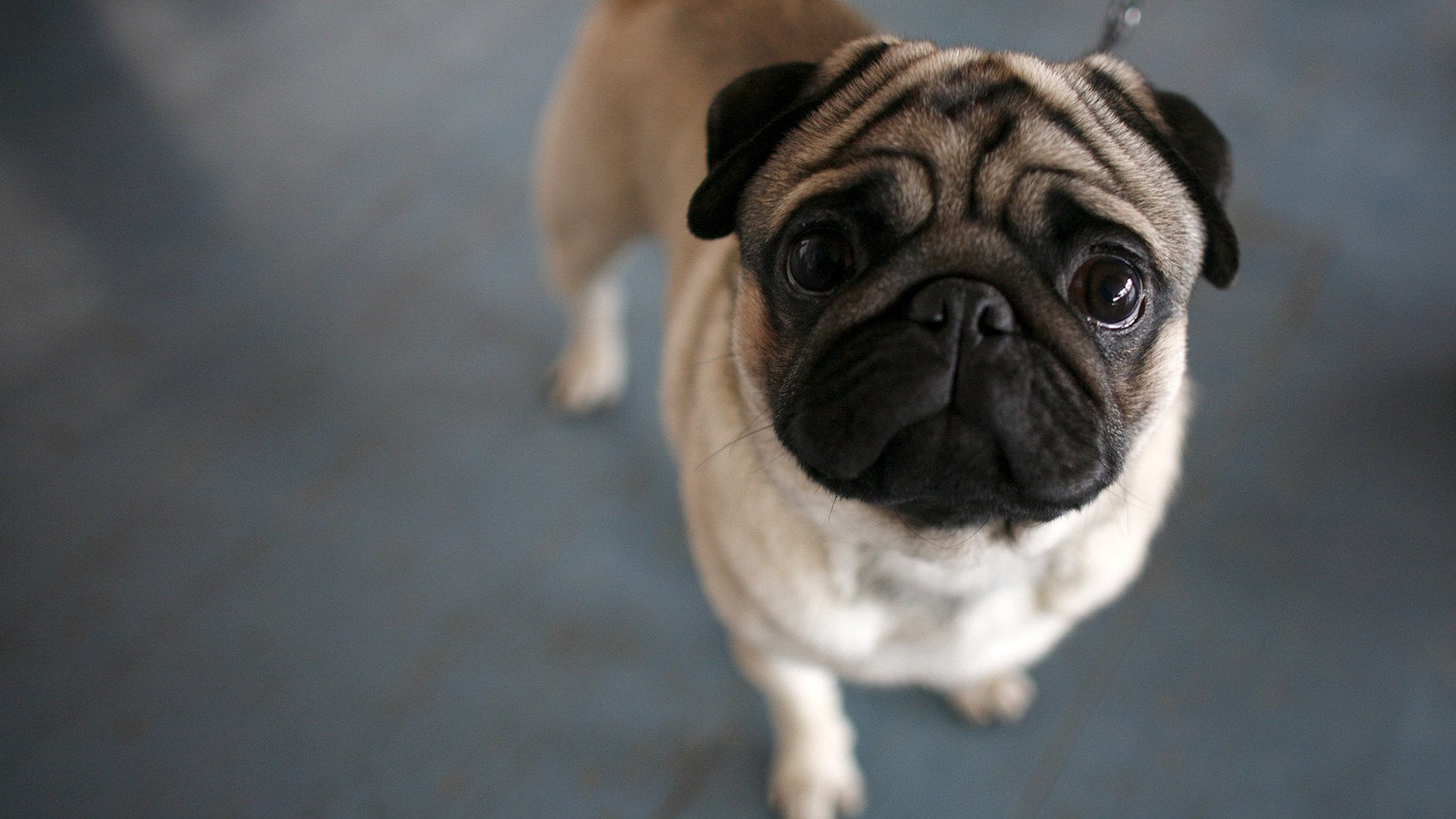 Pug looks into the camera during international dog show in Sofia
