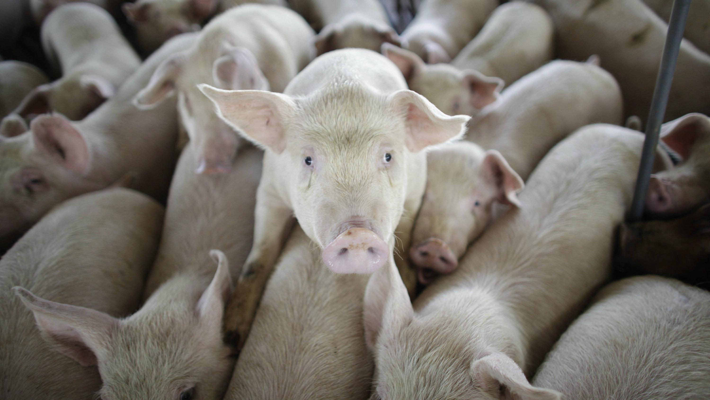 antibiotic free pork tyson