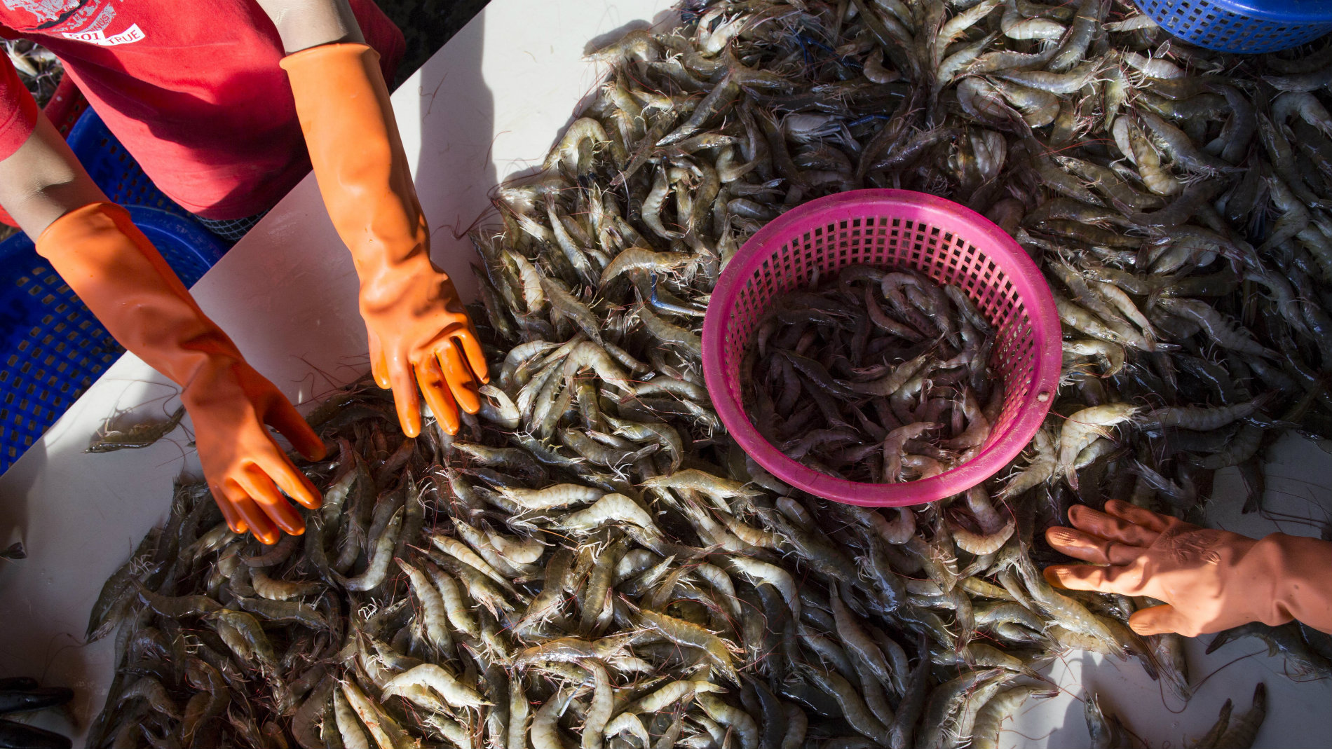In this Wednesday, Sept. 30, 2015 photo, female workers sort shrimp at a seafood market in Mahachai, Thailand.