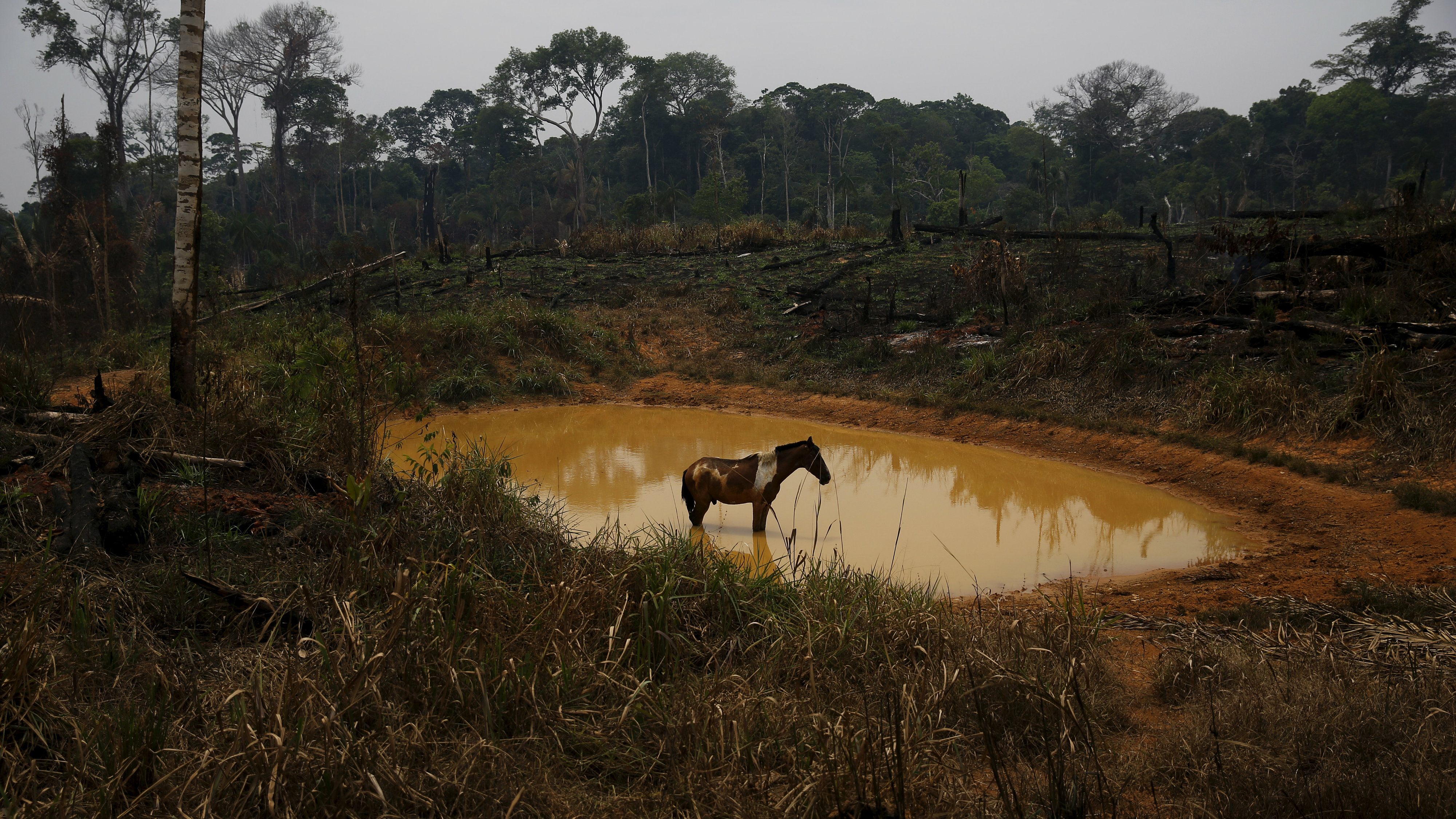 """A horse stands by a lake in Rio Pardo next to Bom Futuro National Forest, in the district of Porto Velho, Rondonia State, Brazil, September 1, 2015. The town of Rio Pardo, a settlement of about 4,000 people in the Amazon rainforest, rises where only jungle stood less than a quarter of a century ago. Loggers first cleared the forest followed by ranchers and farmers, then small merchants and prospectors. Brazil's government has stated a goal of eliminating illegal deforestation, but enforcing the law in remote corners like Rio Pardo is far from easy. REUTERS/Nacho DocePICTURE 37 OF 40 FOR WIDER IMAGE STORY """"EARTHPRINTS: RIO PARDO"""" SEARCH """"EARTHPRINTS PARDO"""" FOR ALL IMAGES"""