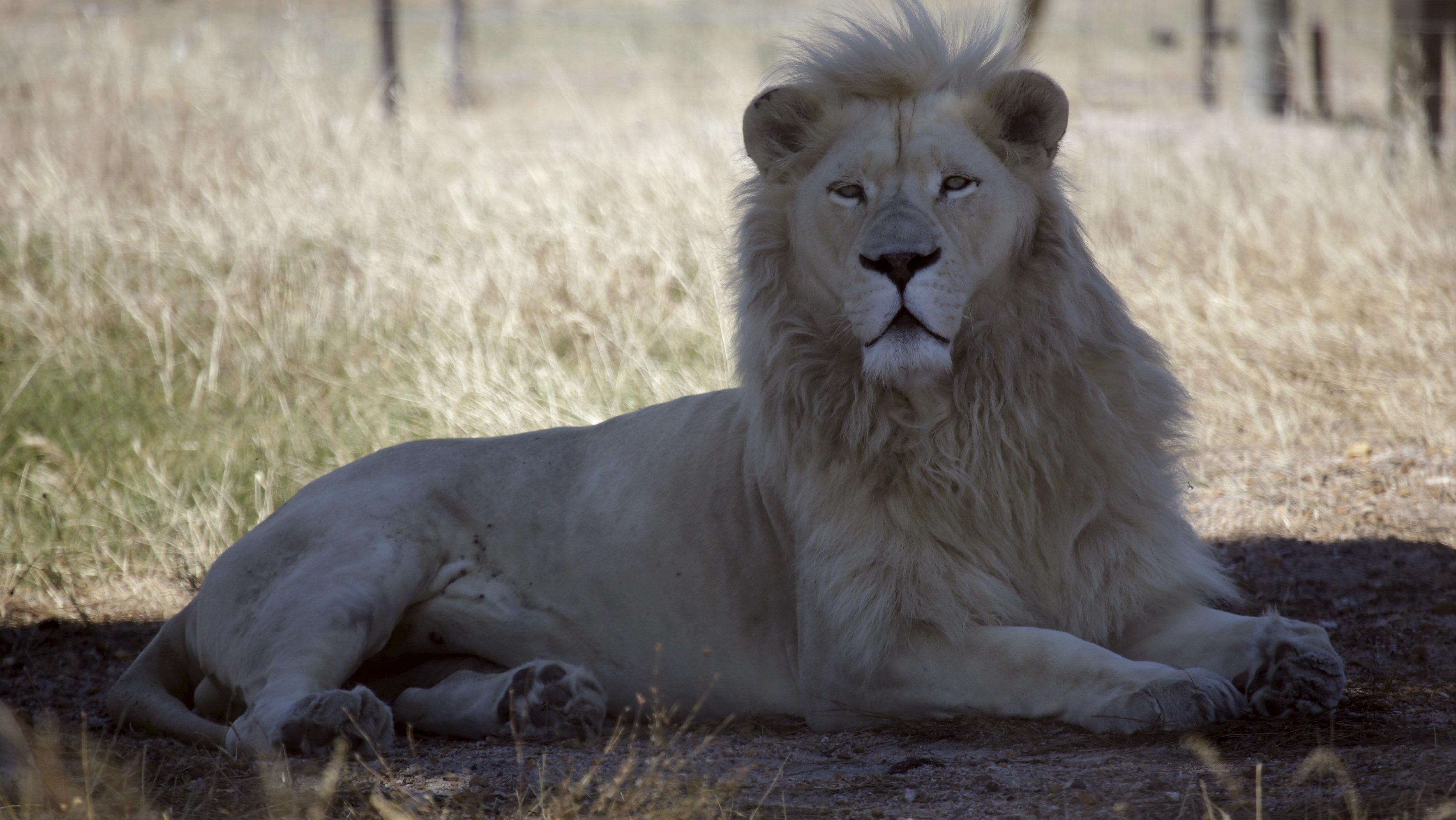 """white lion named Brutus is seen at the Drakenstein Lion Park near Cape Town December 29, 2015. Brutus, who fathered three """"miracle"""" cubs despite having had a vasectomy in his youth, is going back to the vet to have the operation a second time. Brutus and his partner Nala, who live at the Drakenstein Lion Park, stunned staff at the sanctuary when she gave birth to the cubs just before Christmas."""