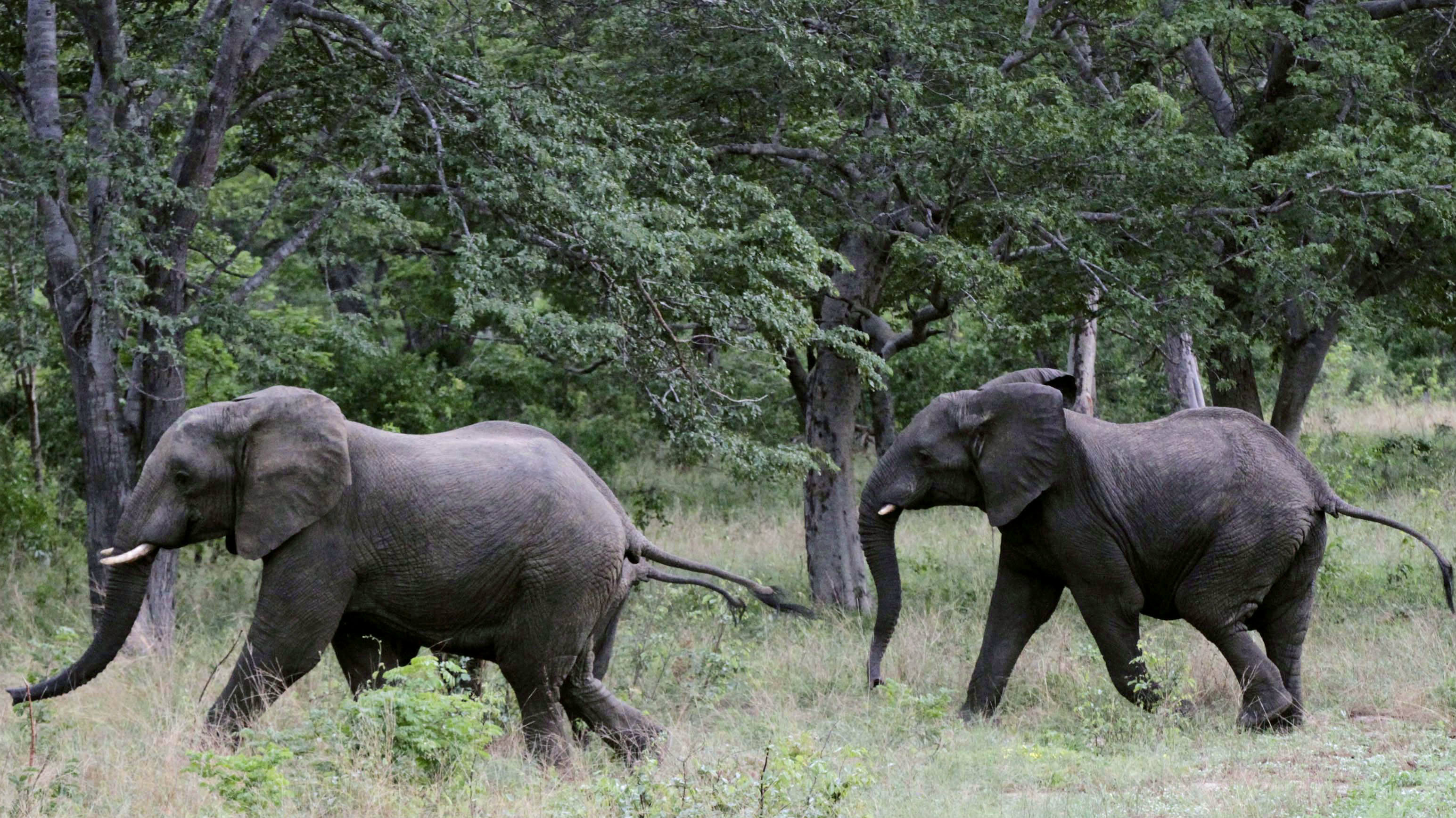 A pair of elephants walks inside Zimbabwe's Hwange National Park December 21, 2014