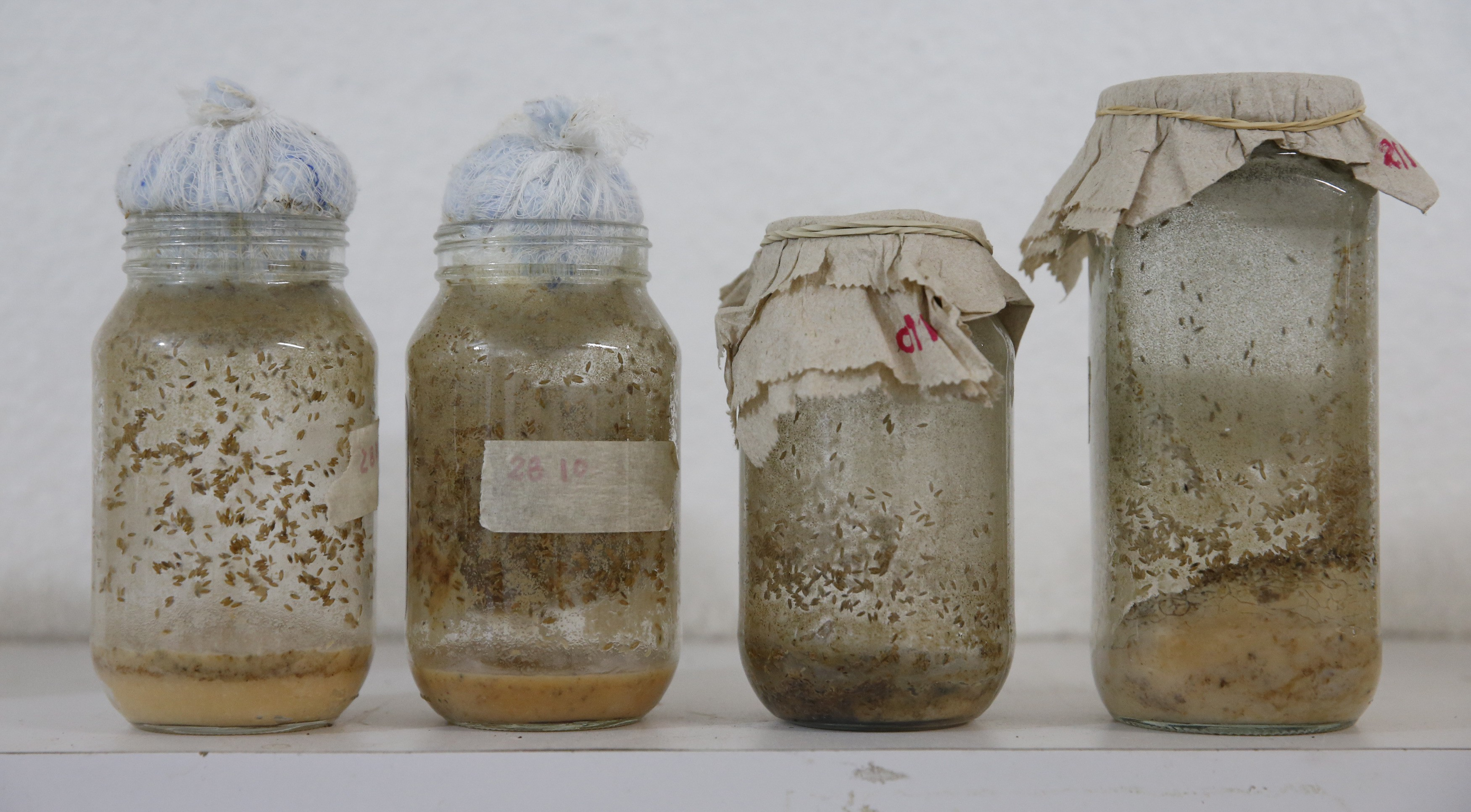 Drosophila melanogaster larvae, that will be used as part of the diet for frogs, are seen inside glass containers at the terrarium facilities in Caracas November 30, 2015. Venezuelan frogs and toads are in critical danger due to climate change as rising temperatures complicate reproduction and spread a deadly fungus, say scientists, who liken the species to canaries in a coalmine warning of imminent danger. The survival of a group of nearly 20 frog and toad species, which top Venezuela's list of endangered species, may rest on a small group of academics in a Caracas laboratory attempting to recreate the amphibians' natural reproductive conditions. Picture taken on November 30, 2015. REUTERS/Carlos Garcia Rawlins - RTX1YU4C