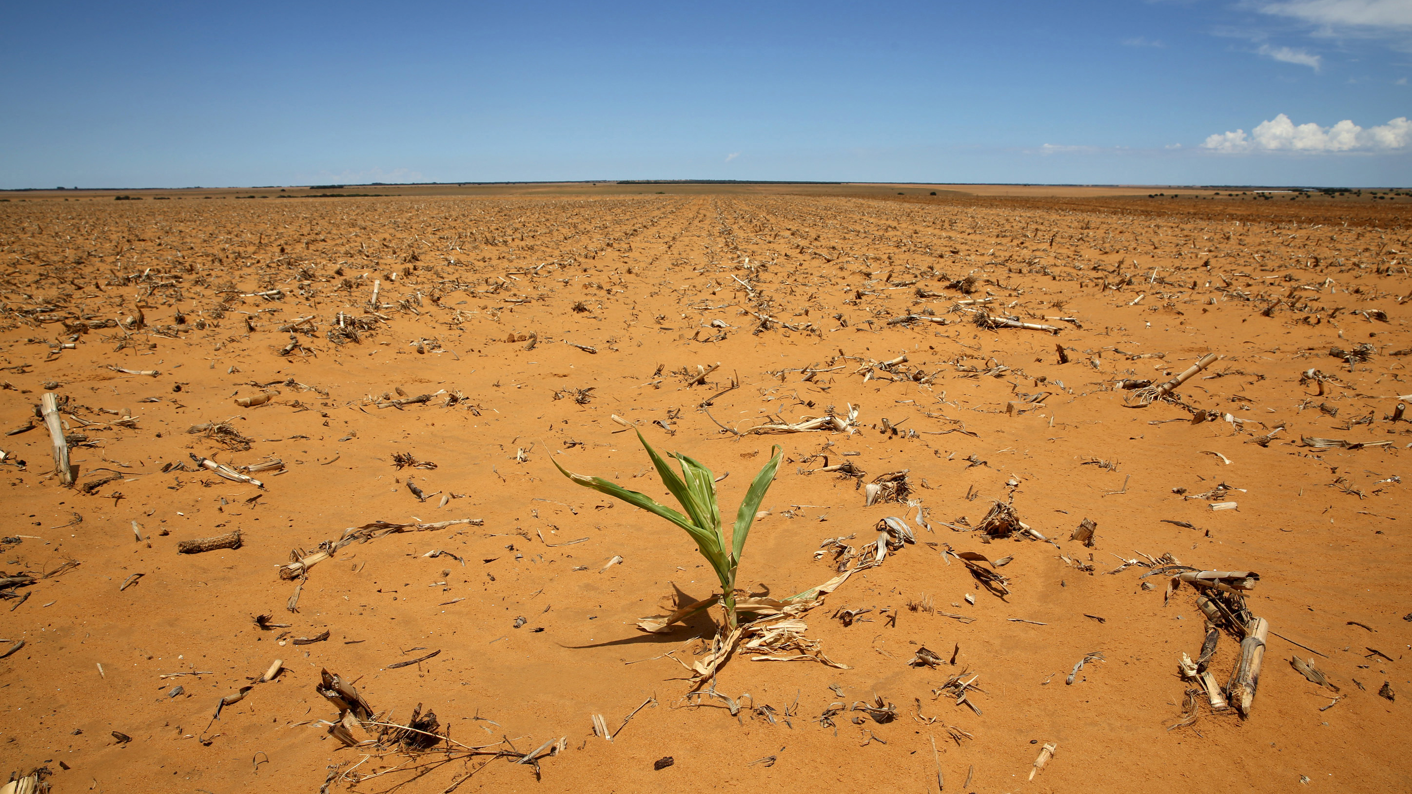 The state of a South African  maize field in mid January.