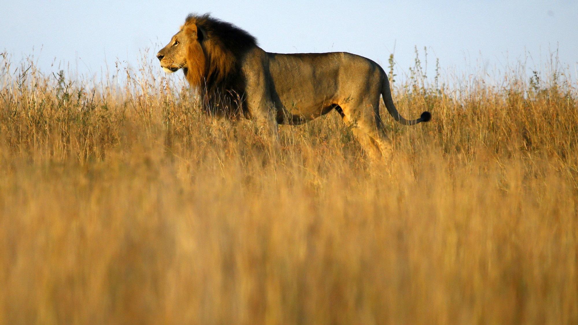 A lion roaming Nairobi traffic injured a man on March 18th.