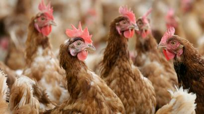 Super chickens with extra-powerful immune systems could reduce