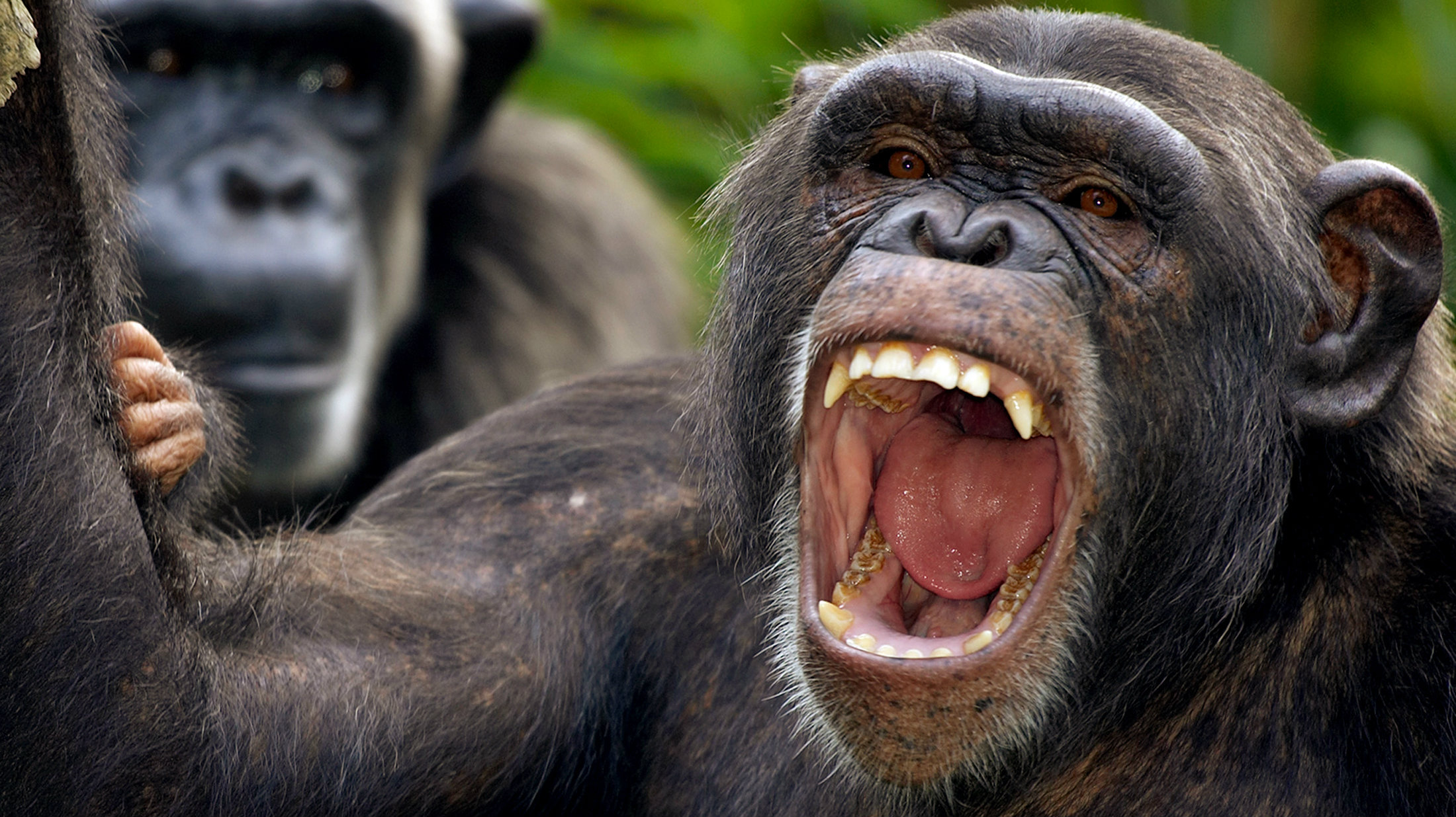 A chimpanzee yawns as it looks into the camera from its enclosure at the Singapore Zoo, Singapore May 13 2005. The Singapore Zoo has long been acclaimed for its open zoo concept, where animals live in spacious and landscaped enclosures simulating that of their natural habitat. REUTERS/Tim Chong TC/PN