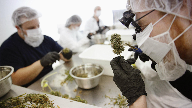 marijuana workers
