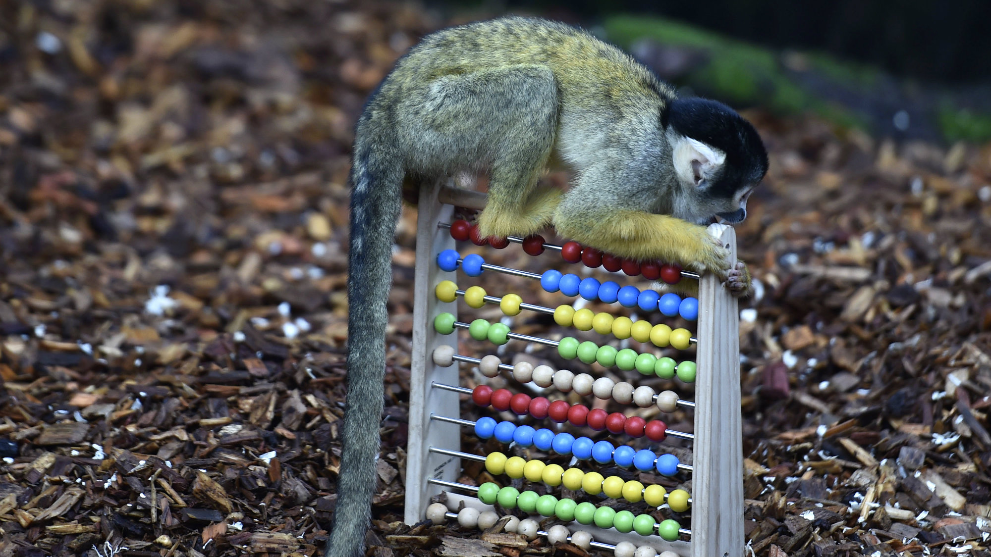 A black-capped squirrel monkey sits on an abacus during the stock take at London Zoo in London