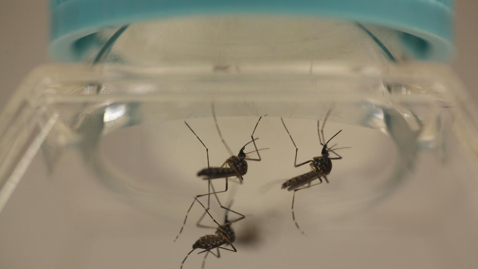 A Chinese Mosquito Factory Releases
