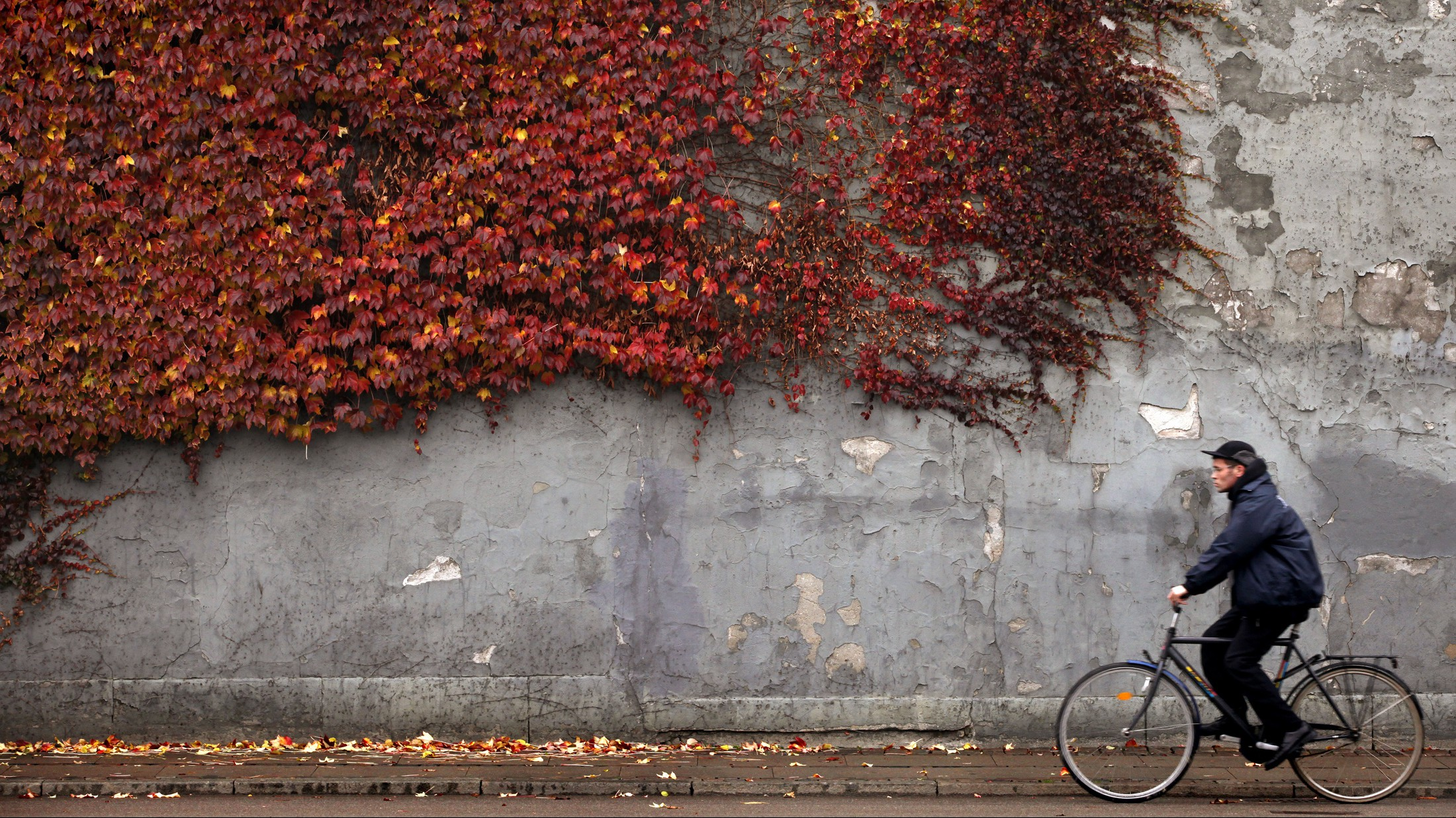 A cyclist rides past autumn-colored ivy climbing the wall of a building in downtown Copenhagen November 2, 2010.    (DENMARK - Tags: ENVIRONMENT TRANSPORT SOCIETY) - RTXU4IR