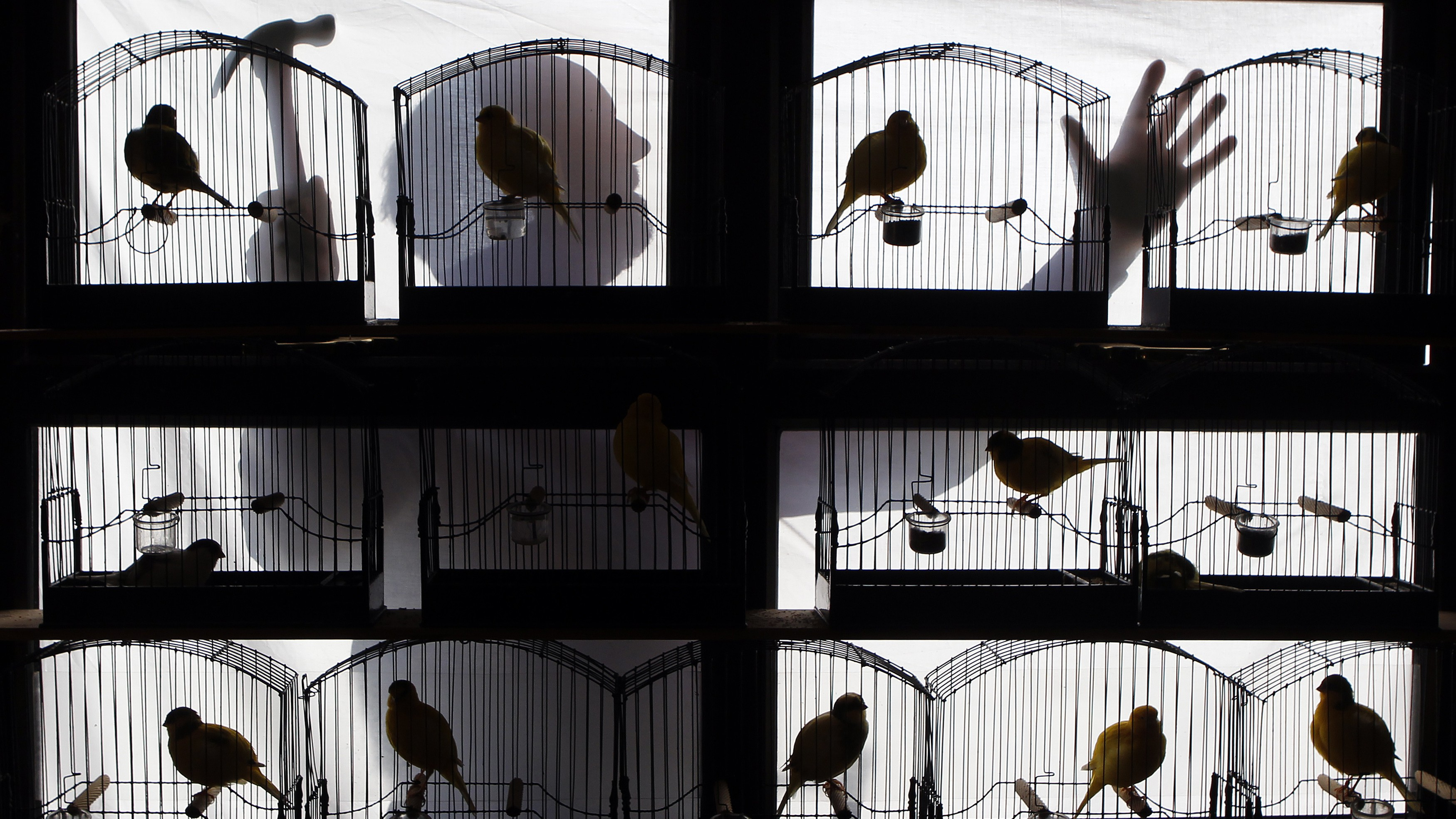 Canaries perch in their cages as fancier Pat McKeefrey makes repairs to his bird shed, in Randalstown