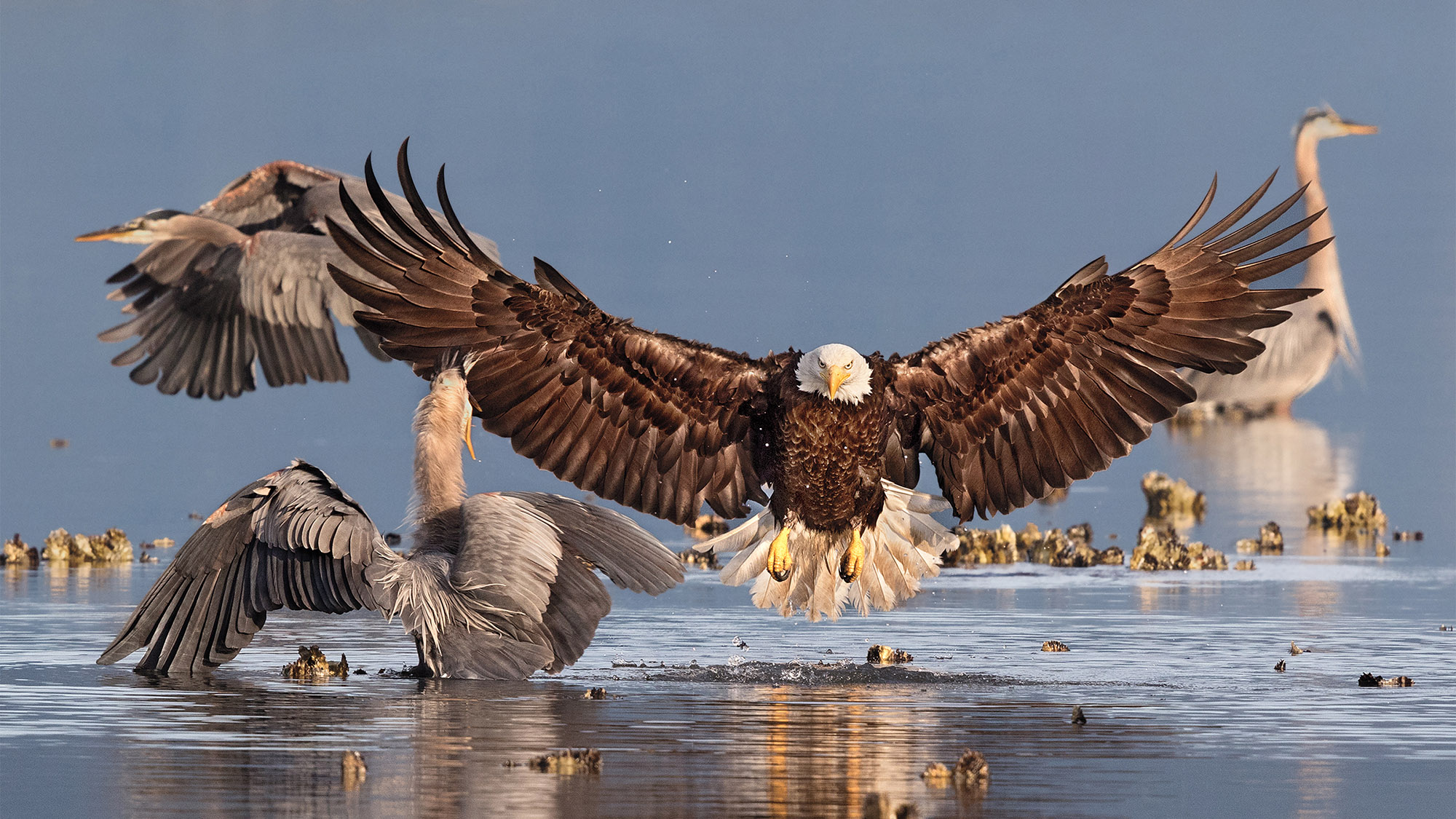 The Bald Eagle fights with heron for fish.