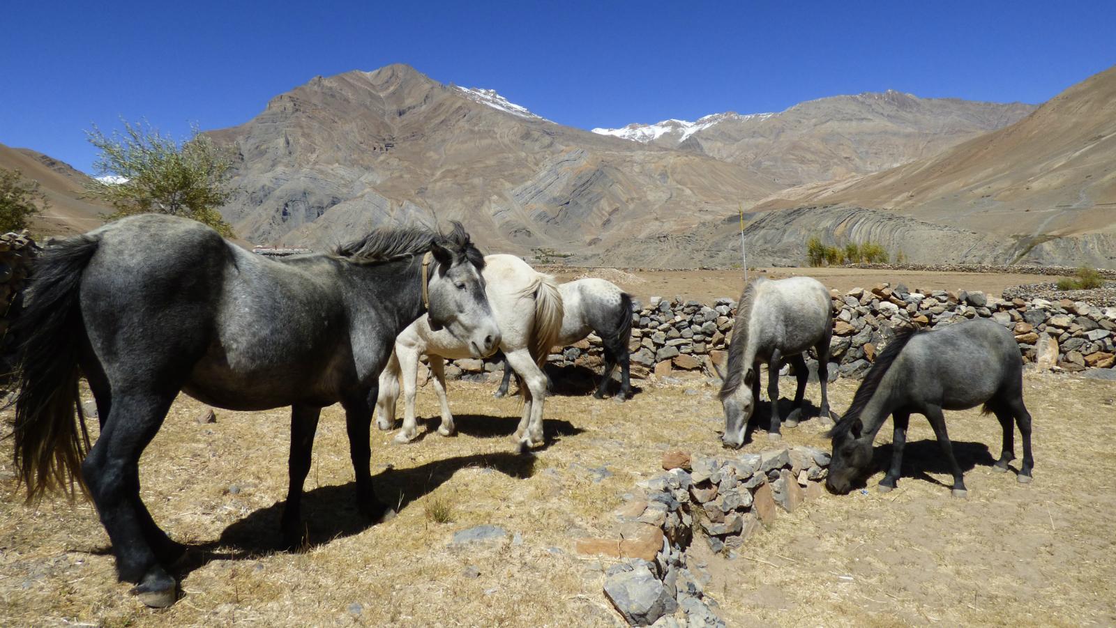 Horse-Himalaya-Insurance