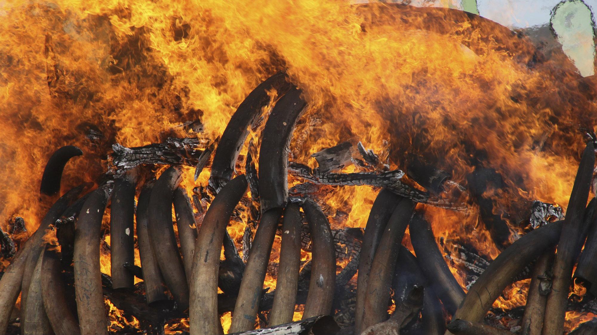 An ivory burning in Kenya in 2011.