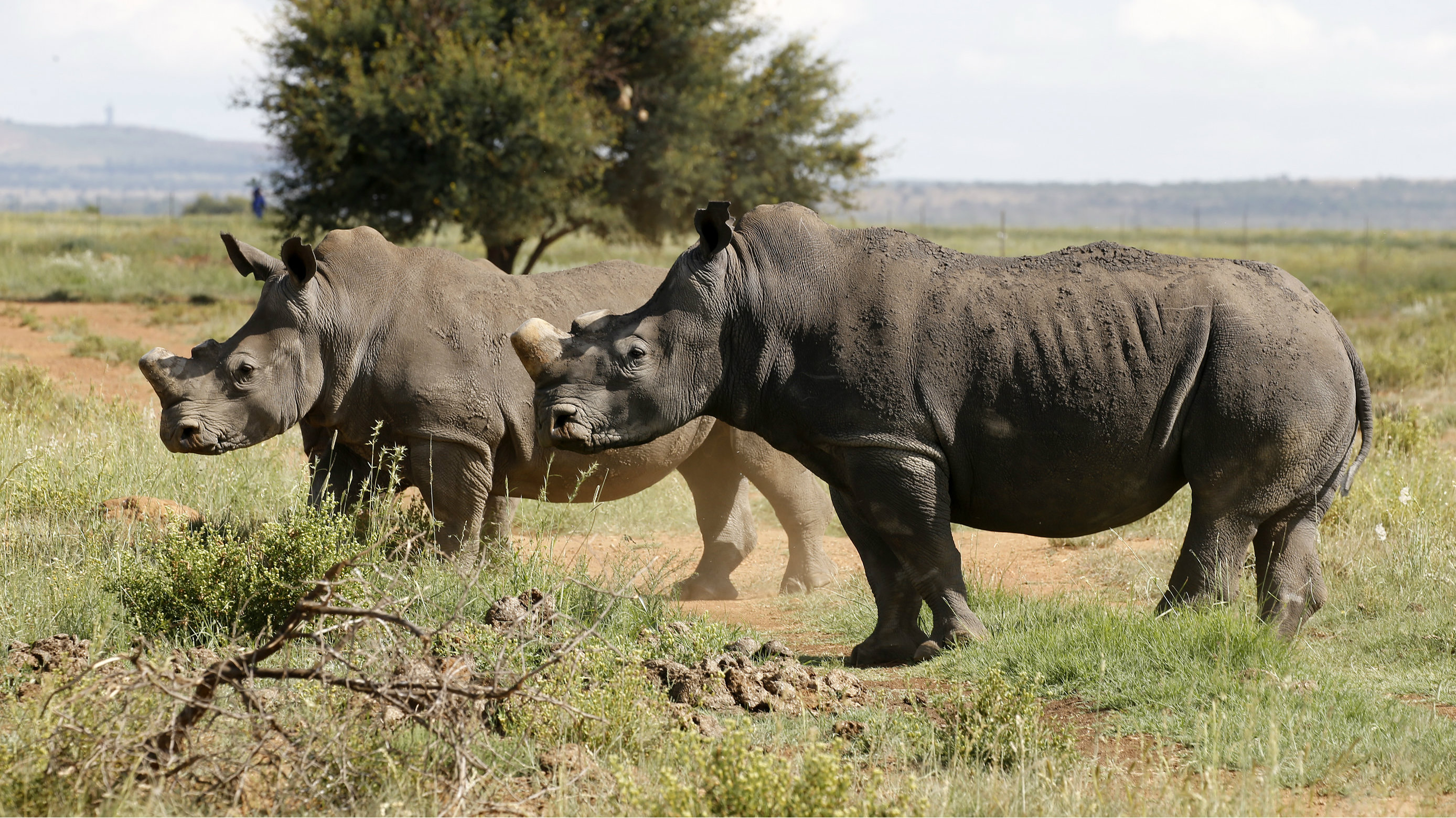 DATE IMPORTED:February 24, 2016Black rhinos, one of the world's endangered animals, are seen at a farm outside Klerksdorp, in the north west province, South Africa, February 24, 2016