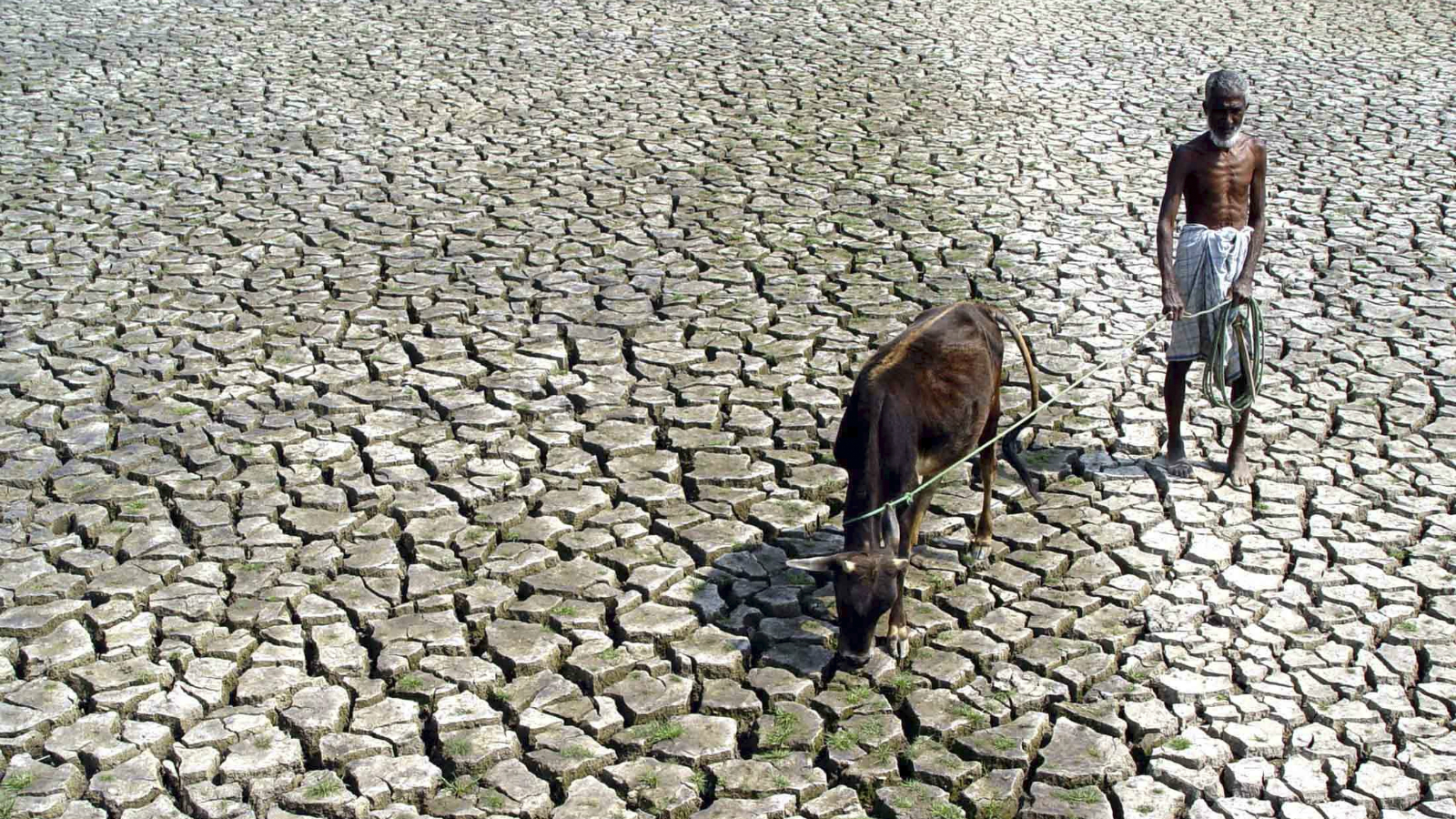 An Indian farmer walks with his hungry cow through a parched paddy field in Agartala, capital city of India's northeastern state of Tripura, March 10, 2005.