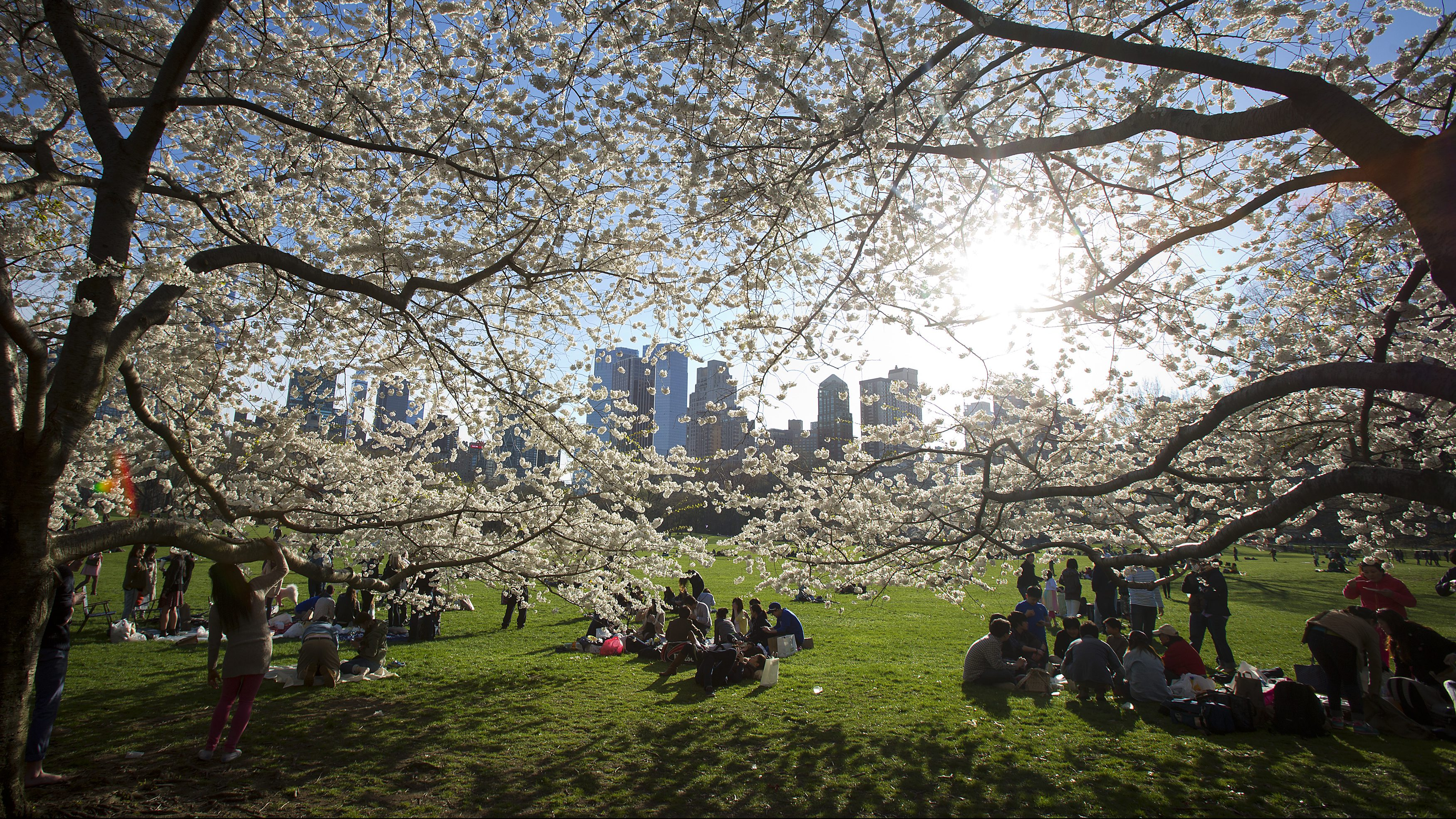 People gather near cherry trees in full blossom in Central Park in New York April 20, 2014. REUTERS/Carlo Allegri (UNITED STATES - Tags: SOCIETY ENVIRONMENT) - RTR3M0Y4