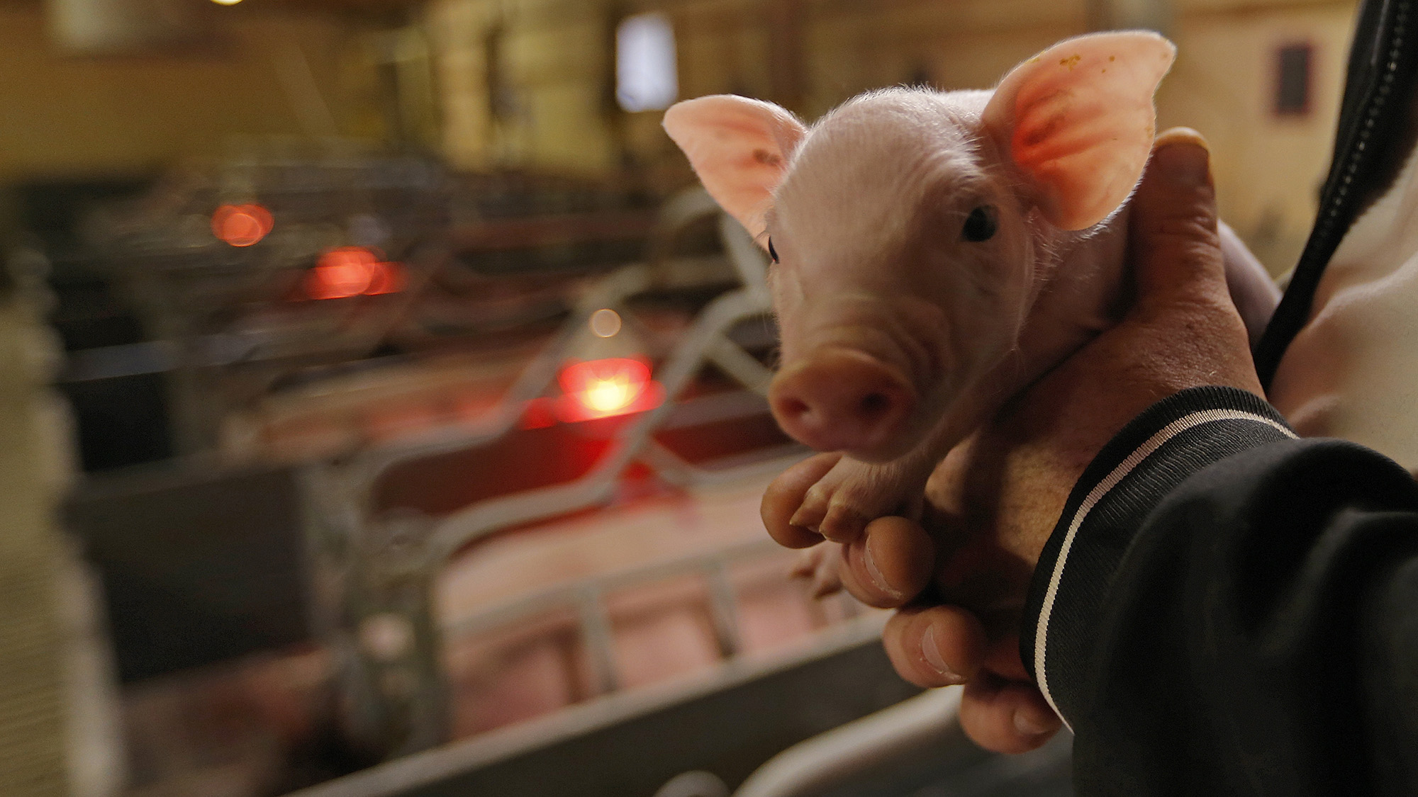 Laurent Ulrich holds a day-old piglet in the nursery part of his pig farm in Kleinfrankenheim, near Strasbourg, France, August 19, 2015. A price boycott by French meat processing firms against higher pork prices threatens to derail a government plan to support angry livestock farmers, who blockaded roads last month.  REUTERS/Vincent Kessler     TPX IMAGES OF THE DAY  - RTX1OSMD