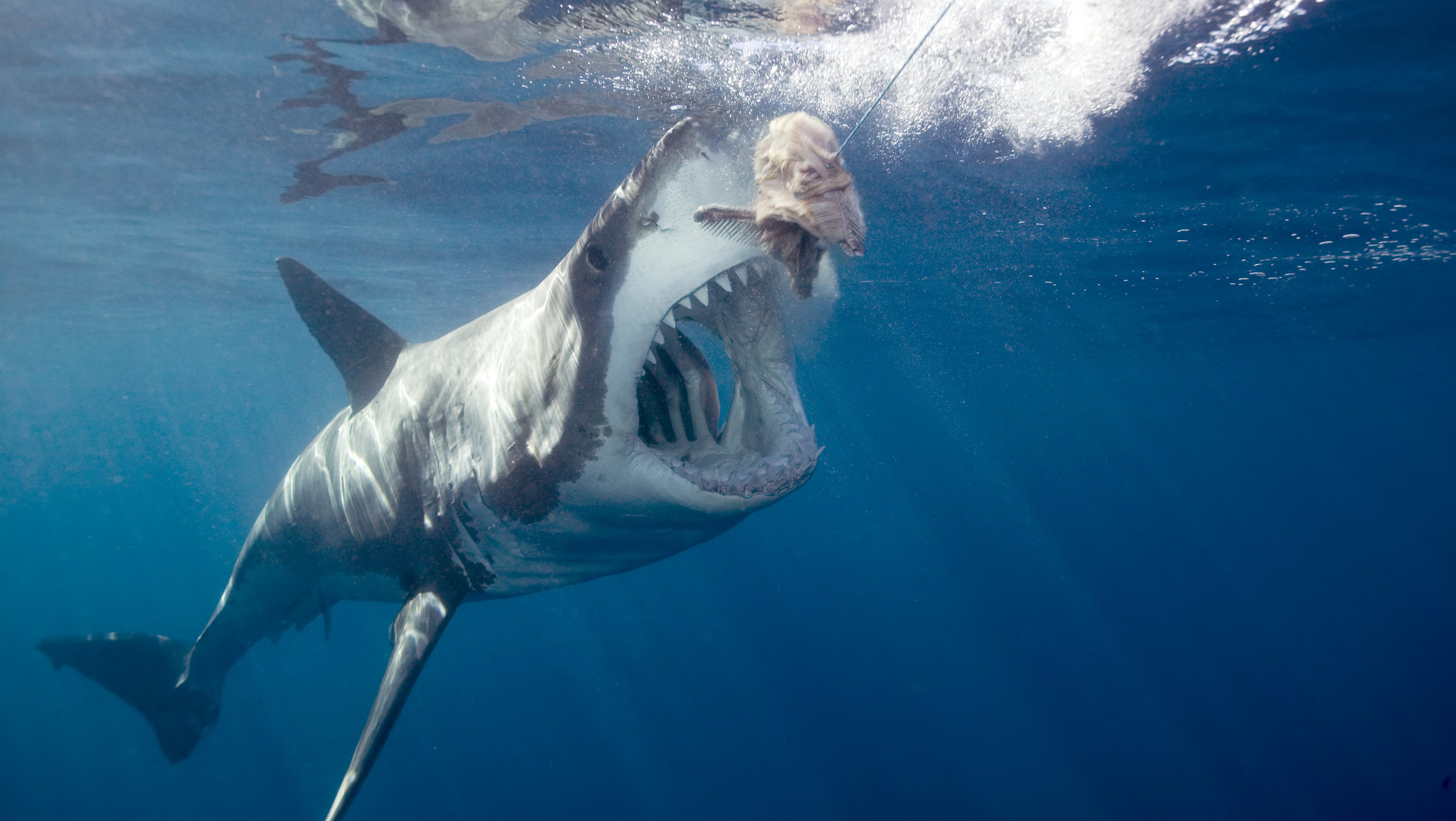Great white shark arching body and opening mouth for bait (wide-angle)