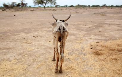 An emaciated cow walks in an open field in Gelcha village, one of the drought stricken areas of Oromia region, in Ethiopia.