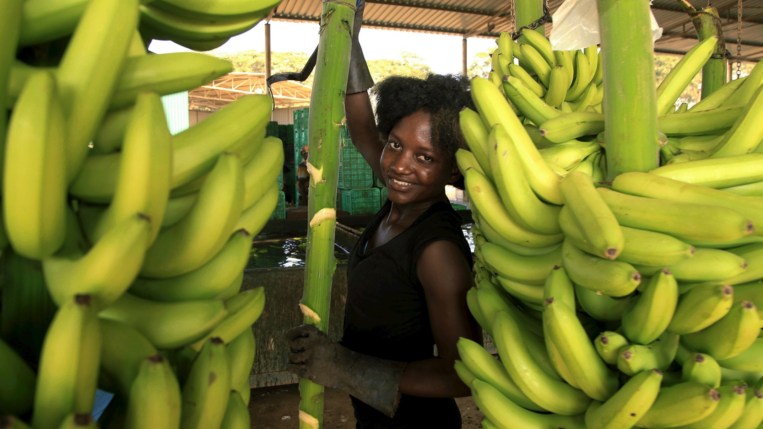 A woman carries bananas at a plantation in Caxito, Angola, May 14, 2015. After decades of civil war destroyed Angola's fertile farmland and a booming oil industry pushed out all other commerce, banana plantations are thriving again in the tropical plains of Caxito, to such an extent that Angola, which imports 90 percent of its food at a cost of $5 billion a year, has finally been able to stop importing bananas. It's a rare case of agricultural progress in a country where only 30 percent of land is cultivated. Picture taken May 14, 2015.