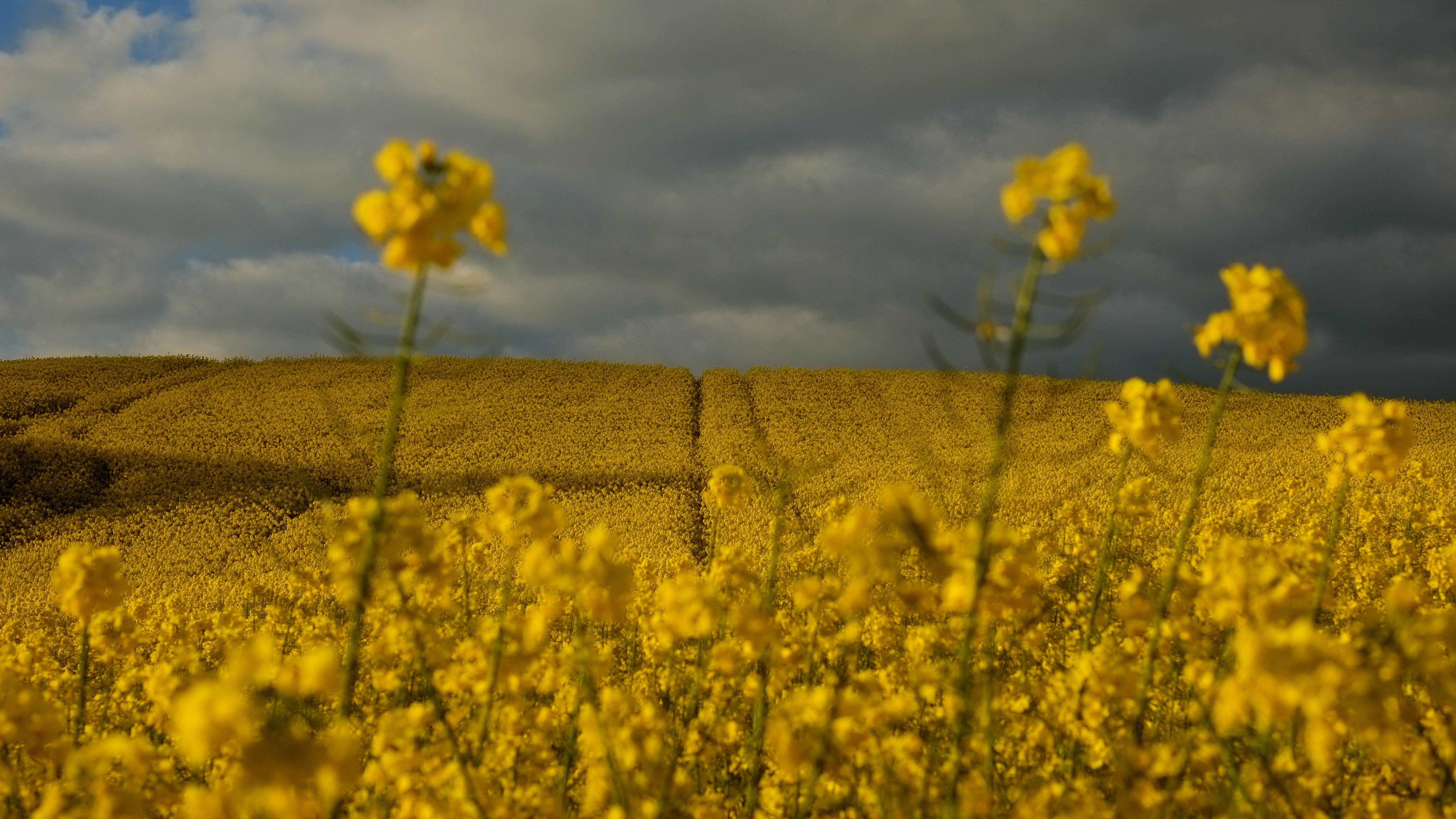 Yellows flowers cover the landscape as the sun sets on a spring day in Unzue, near Pamplona, northern Spain.