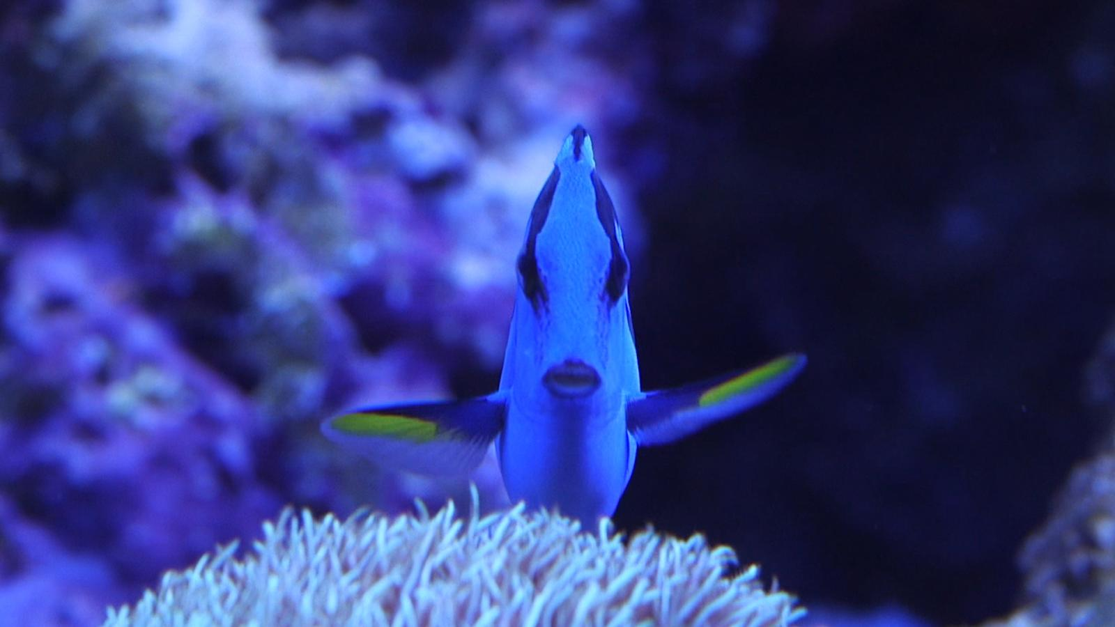 Pixar's Finding Dory will make the blue tang fish popular and ...