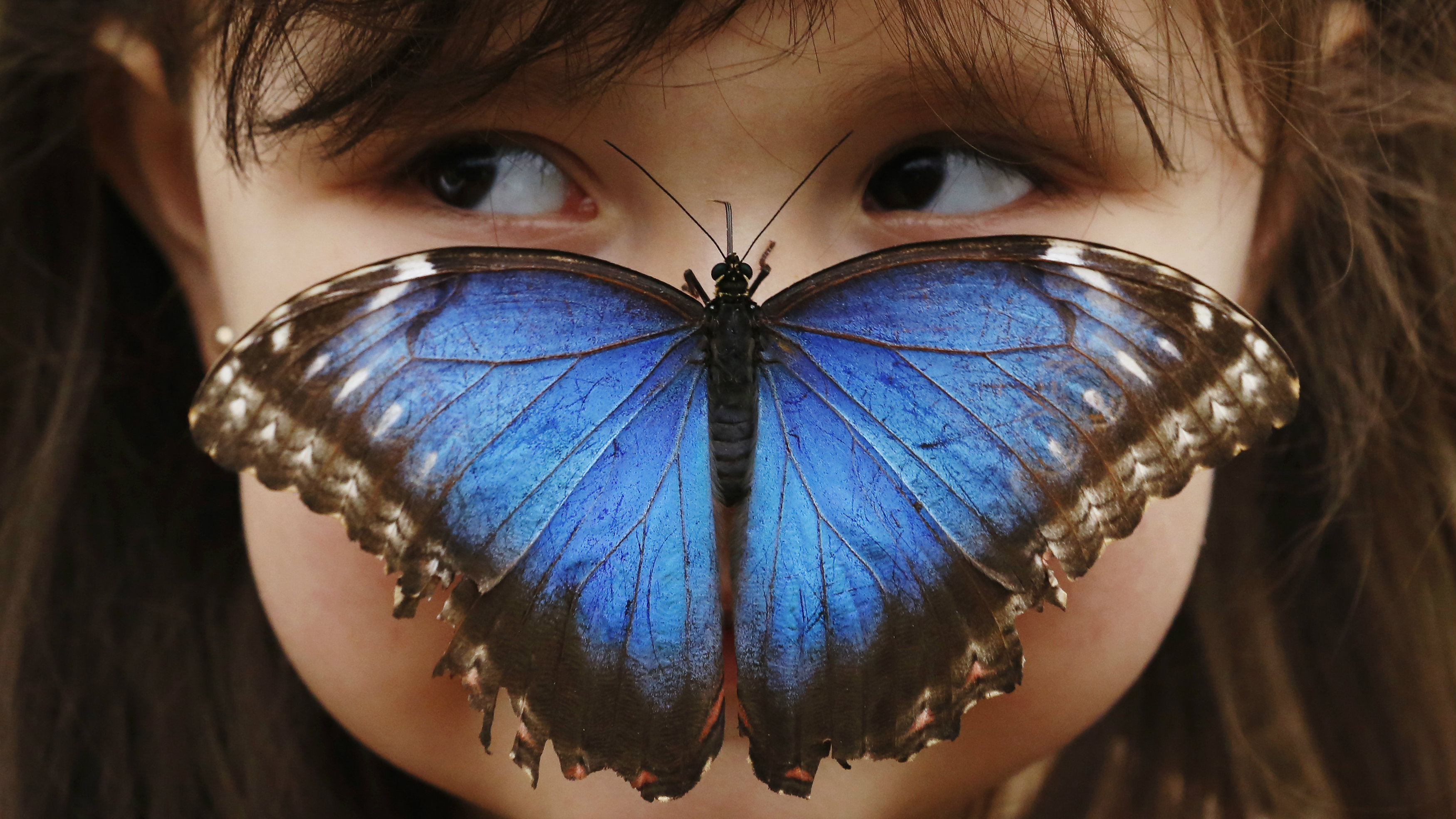 Stella Ferruzola, 3, poses with a Blue Morpho butterfly on her nose at the Sensational Butterflies Exhibition at the Natural History Museum in London March 25, 2013. REUTERS/Luke MacGregor (BRITAIN - Tags: ENTERTAINMENT SOCIETY ENVIRONMENT ANIMALS TPX IMAGES OF THE DAY)