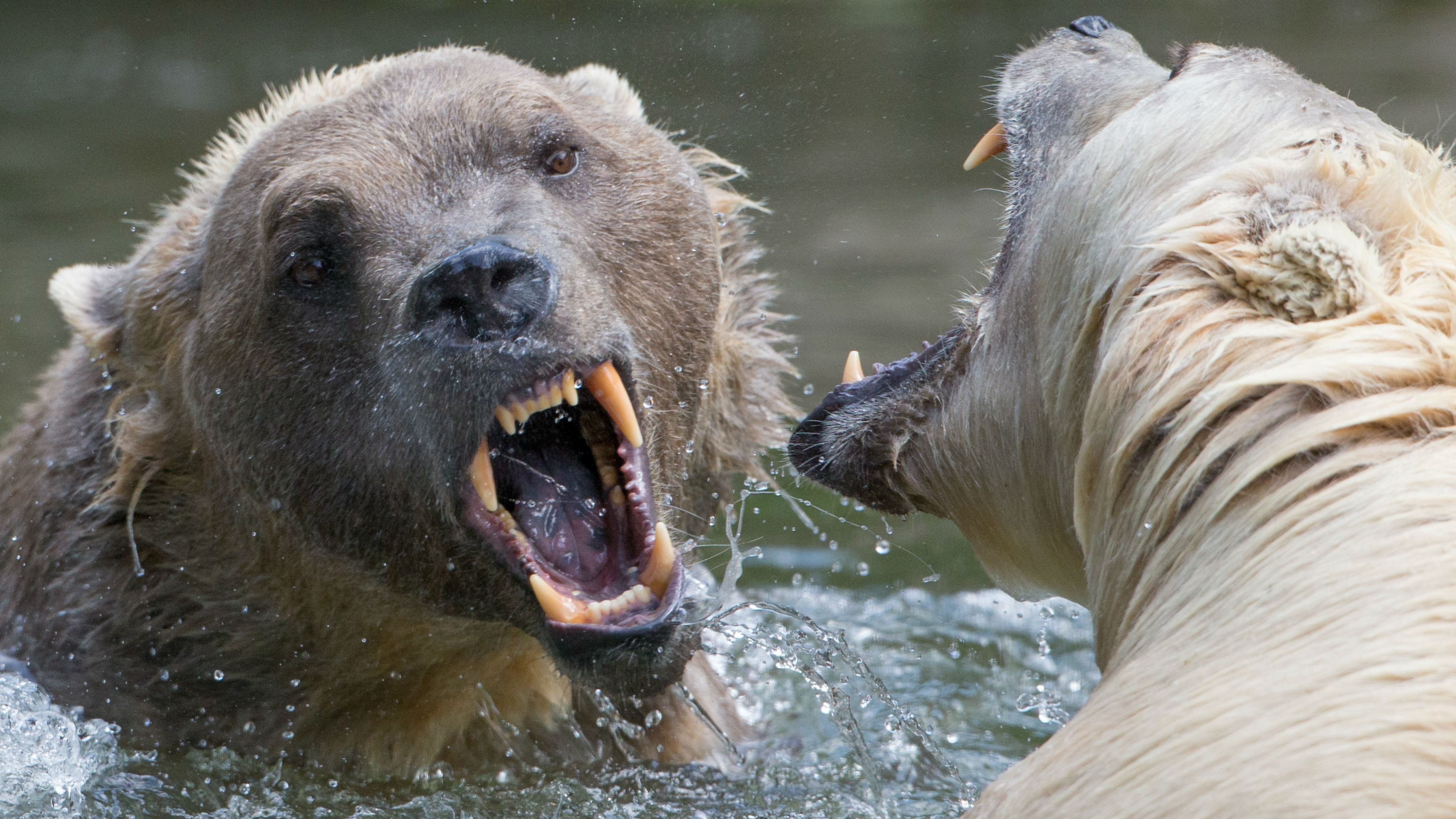 A picture made available on 15 June 2015 shows hybrid bears Tips (R) and her brother Taps at the Osnabrueck Zoo, in Osnabrueck, Germany, 11 June 2015. Hybrid bears (also known as Cappuccino-Bears) are a mix of polar bear and grizzly bear and are also called nanulak, pizzly bear, grolar bear and a variety of other names.