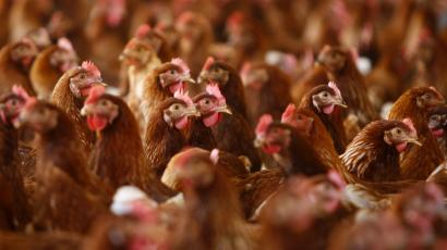 Cage free hens are seen at an egg farm in San Diego County