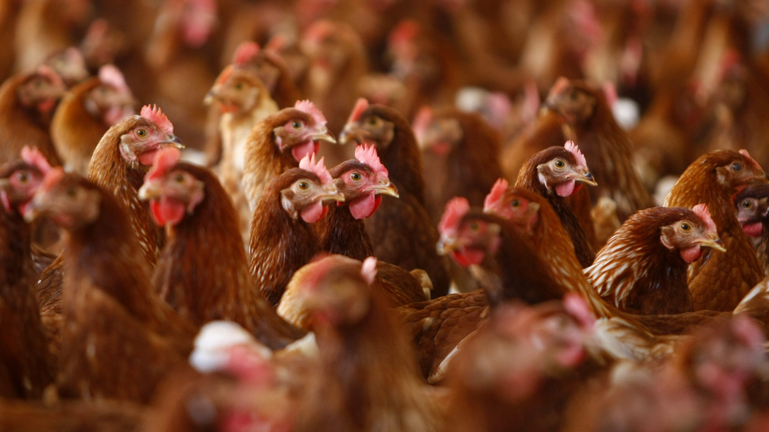 Cage free hens are seen at an egg farm in San Diego County in this picture taken July 29, 2008. A fierce battle looming in California between animal rights campaigners and egg producers over the welfare of caged hens could crack the state's $300 million egg production industry.
