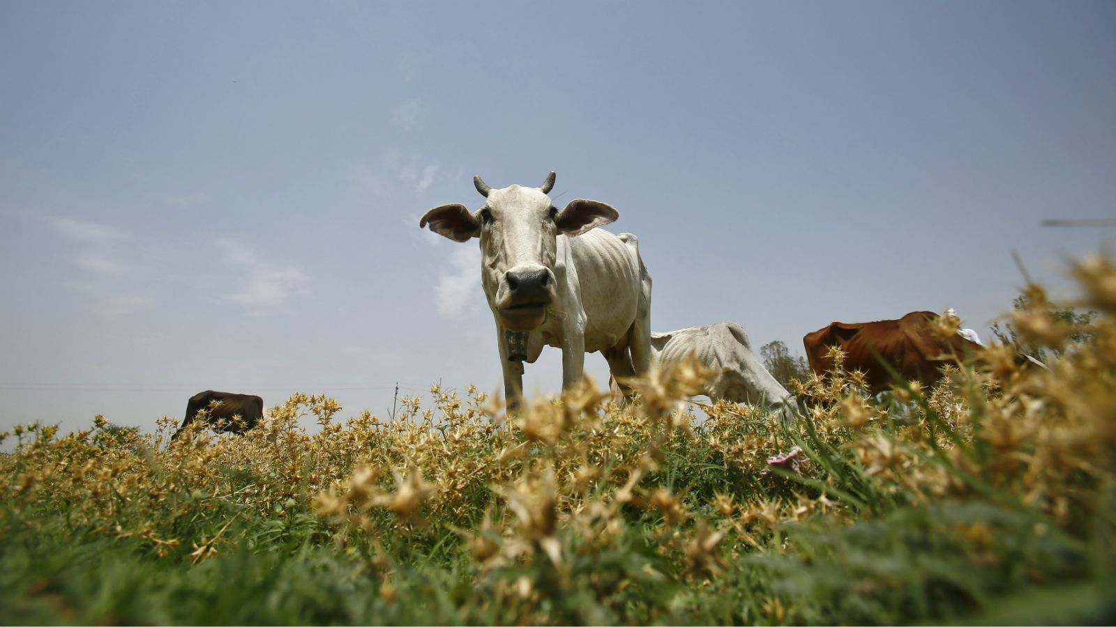 India-Cow-Cow slaughter-Narendra Modi-Beef