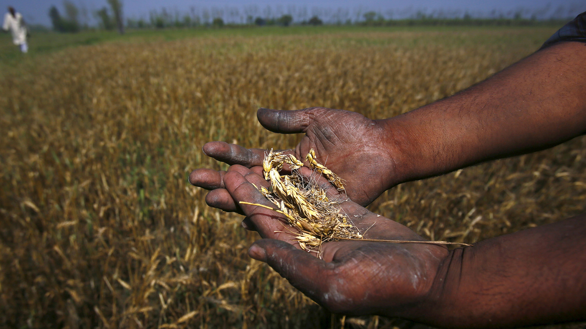 A farmer shows wheat crop damaged by unseasonal rains in his wheat field at Sisola Khurd village in the northern Indian state of Uttar Pradesh, March 24, 2015. To match Insight INDIA-MODI/  Picture taken March 24, 2015. REUTERS/Anindito Mukherjee - RTR4VB66