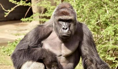 f07cbc3c0ab8 Outrage grows over the death of Harambe the gorilla