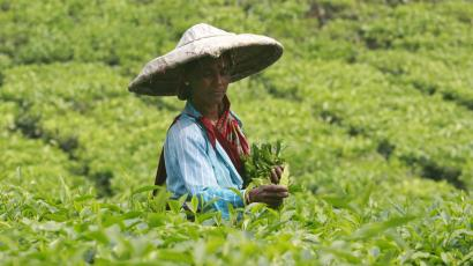 India-tea-darjeeling-auction