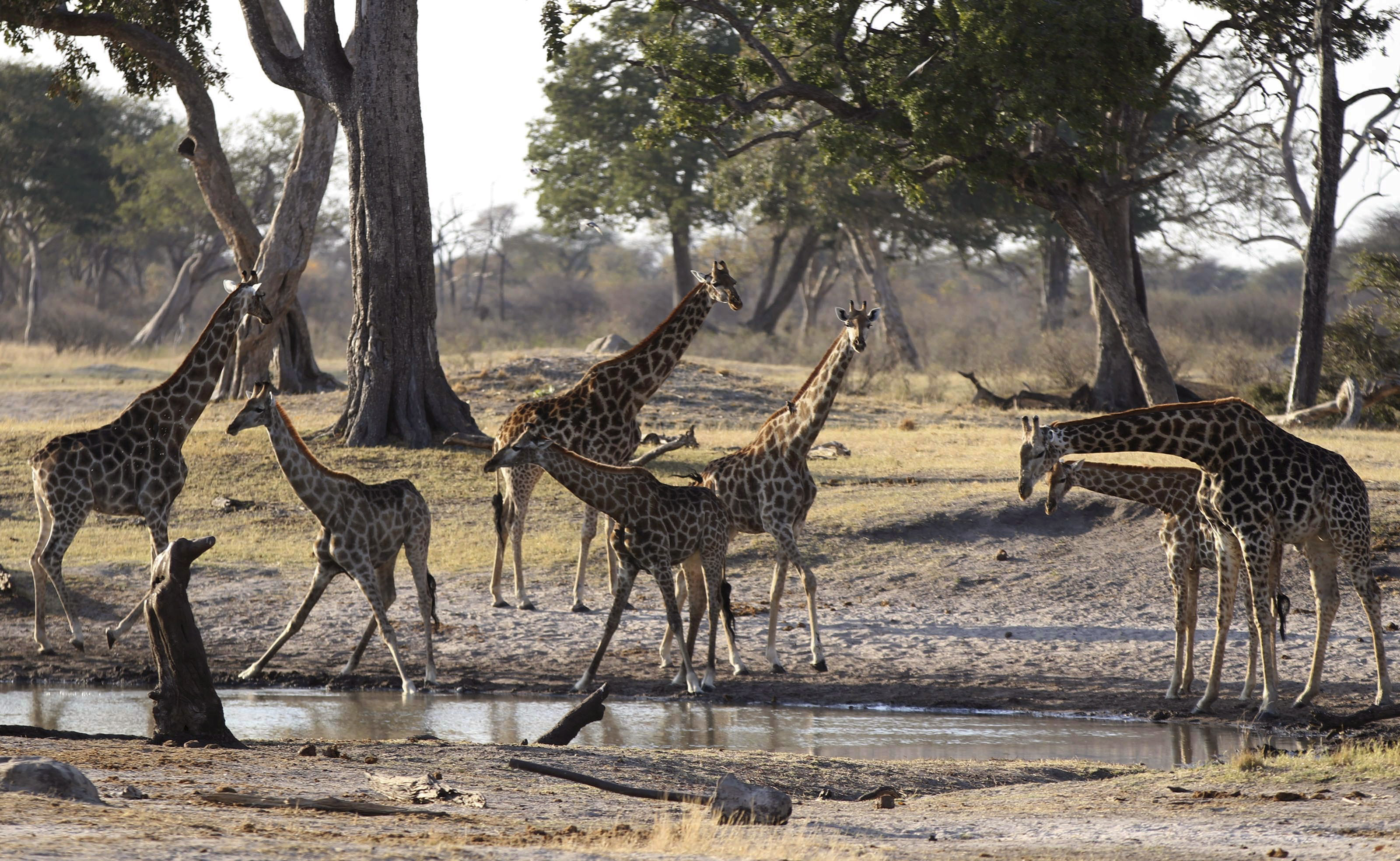 Giraffe gather at a water hole in Zimbabwe's Hwange National Park, August 2, 2015. After the killing of Zimbabwe's best known lion, a second animal has been poached by a foreigner, a source said on Saturday as authorities banned big game hunting outside the park from which Cecil was lured to his death.