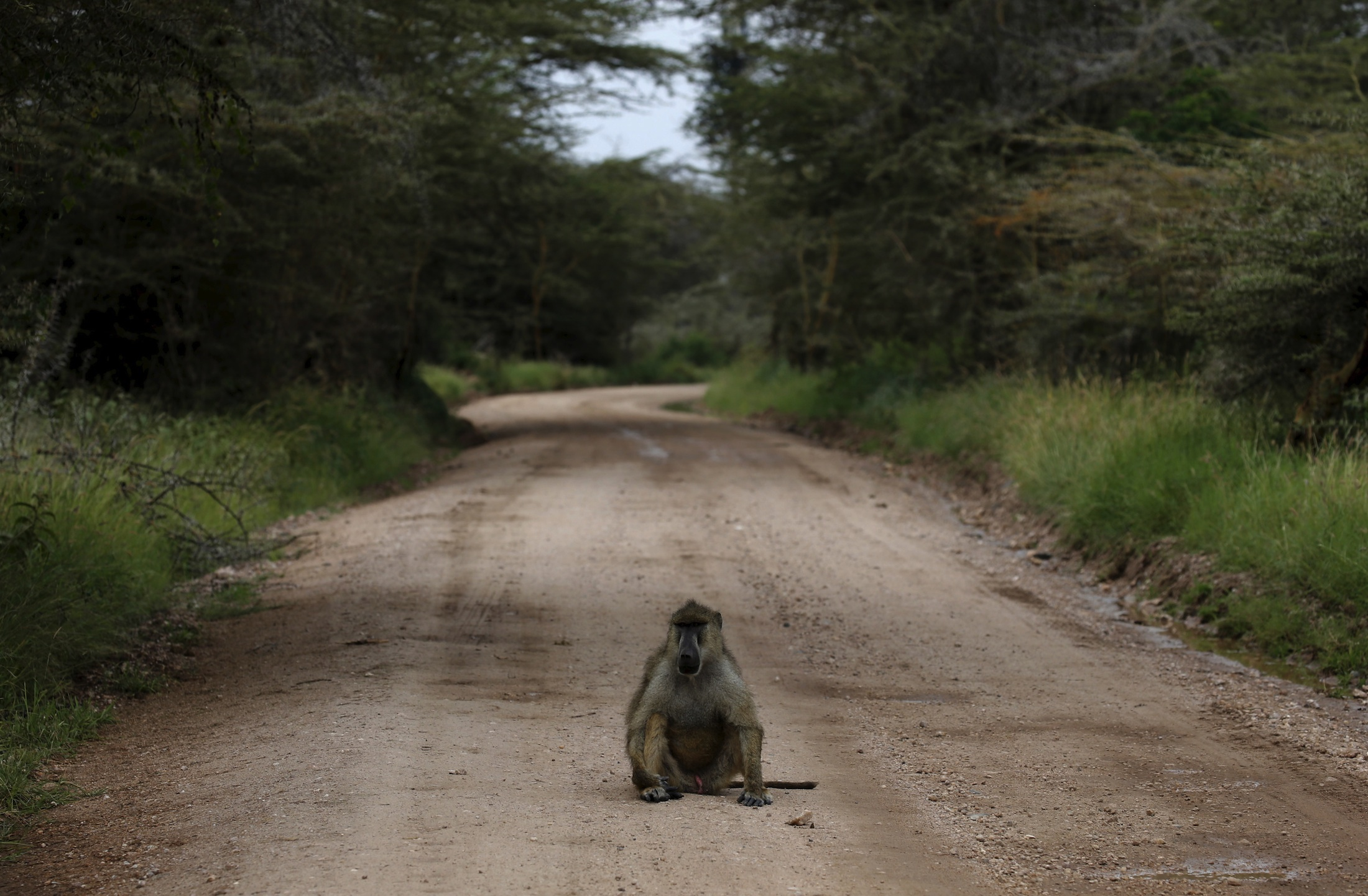 An Olive baboon sits on a road in Amboseli National park, Kenya, February 11,2016. REUTERS/Goran Tomasevic - RTX26UM1