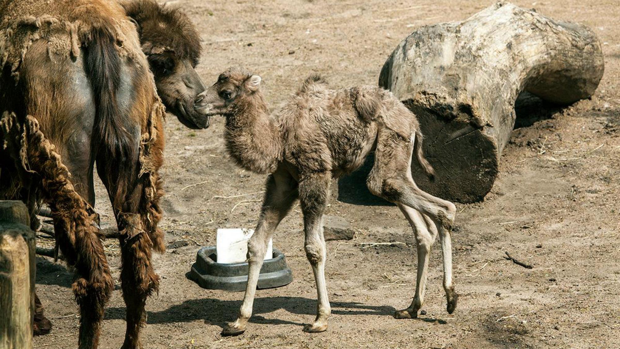 Bactrian camel calf Alexander Camelton of the Lincoln Park Zoo, Chicago.