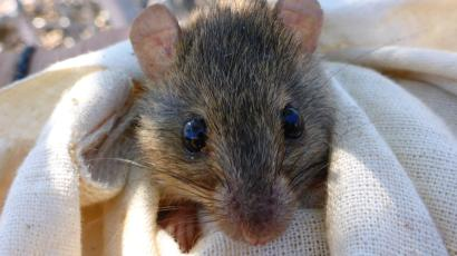 A melomys from Torres Strait