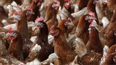 Perdue Farms changes chicken production to reduce suffering — Quartz