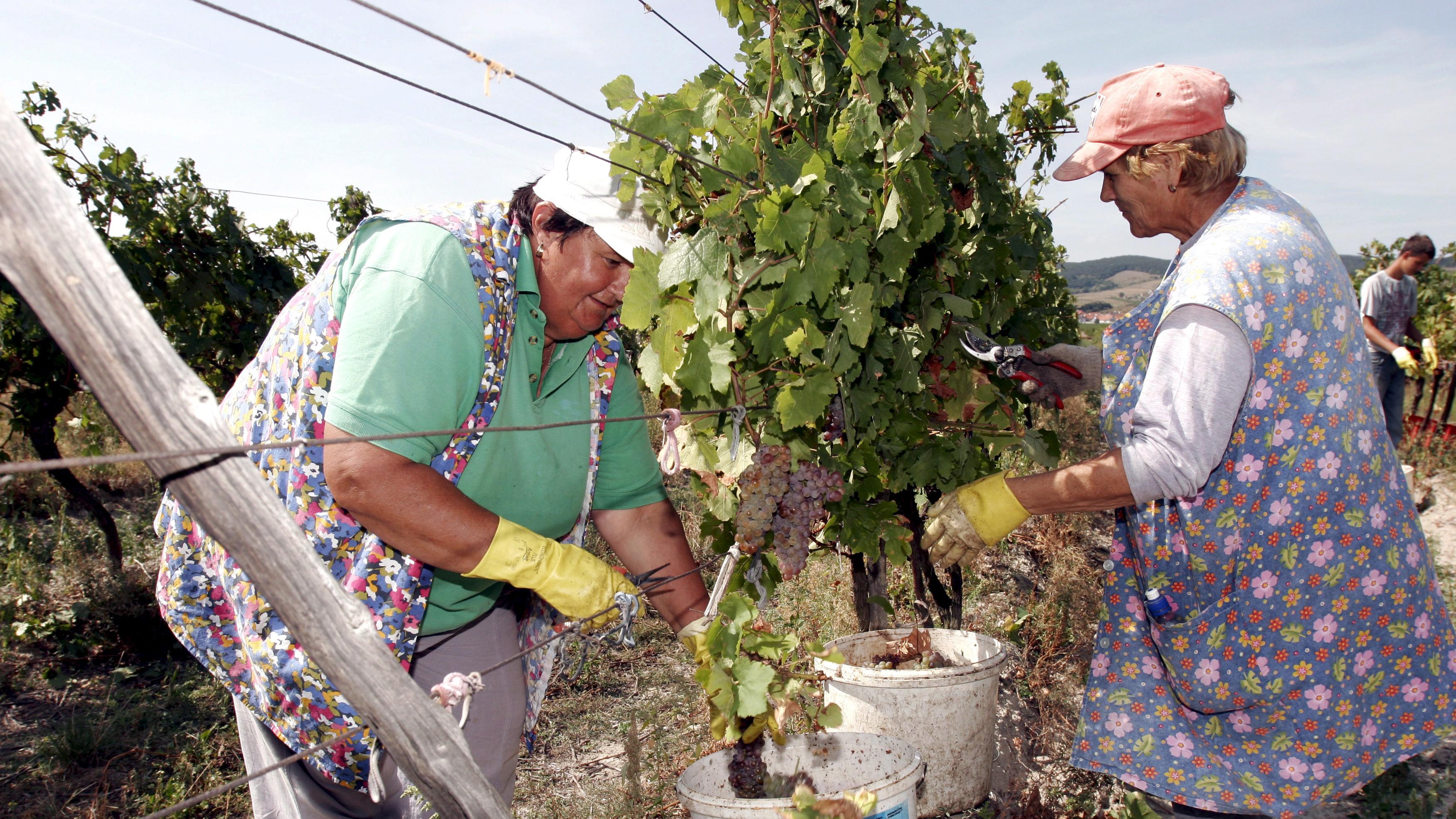 Harvesting grapes in the Small Carpathians near Bratislava, Slovakia
