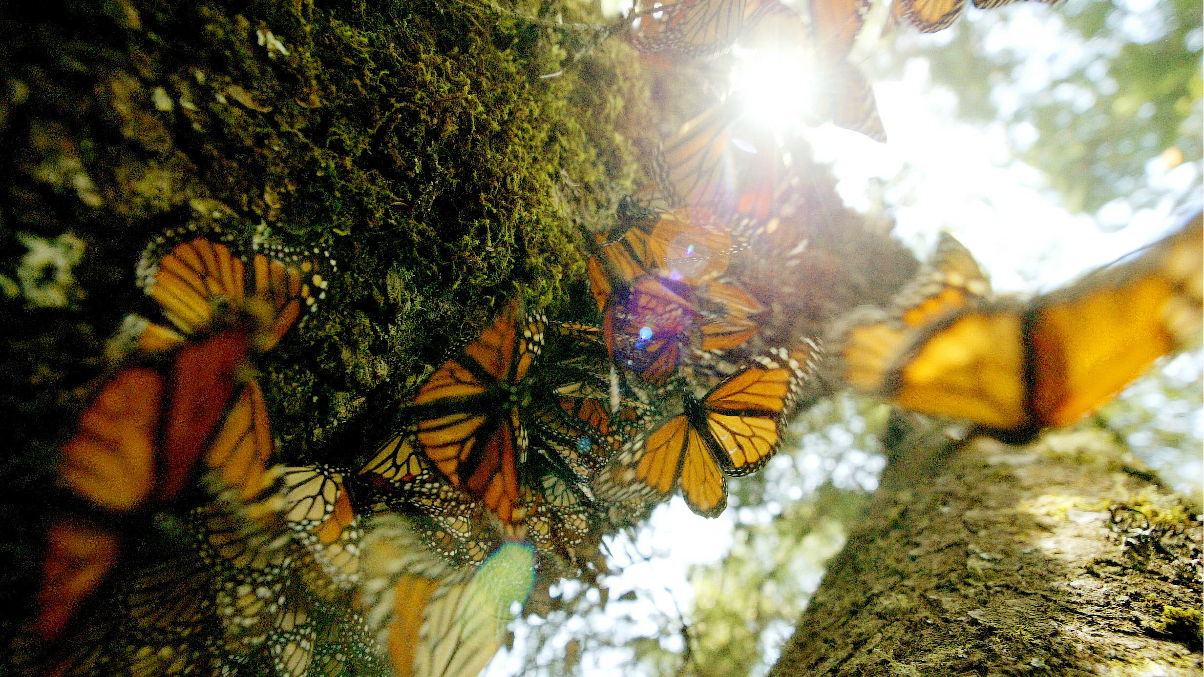 """Mexico, Canada, and the US created a """"flyway"""" to save the Monarch butterfly, and it's working"""