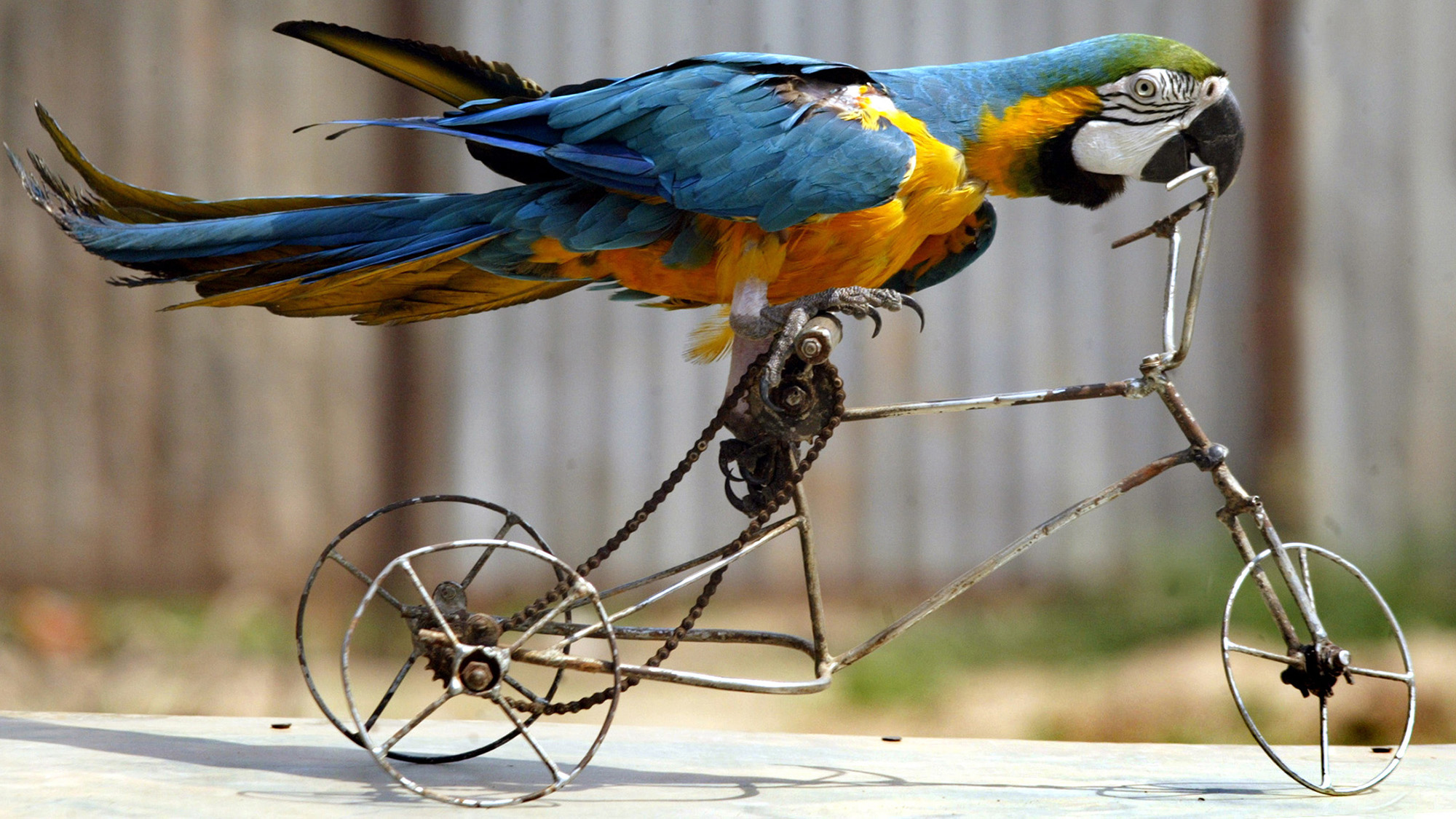 A circus macaw parrot rides a toy bicycle in the northern Indian city of Chandigarh October 10, 2005. REUTERS/Ajay Verma PP05100222 ODLY Pictures of the month October 2005 - RTR19425