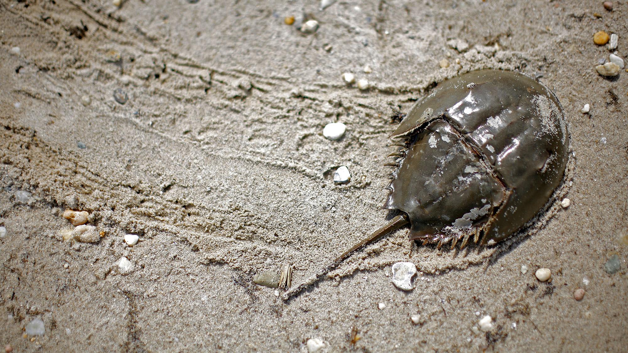 Horseshoe Crab Habitat