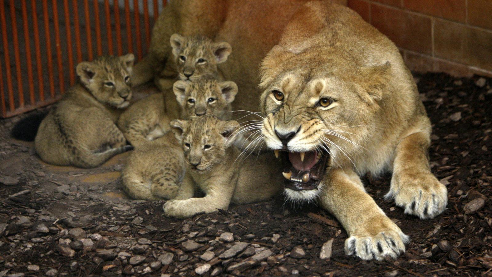 India-Lions