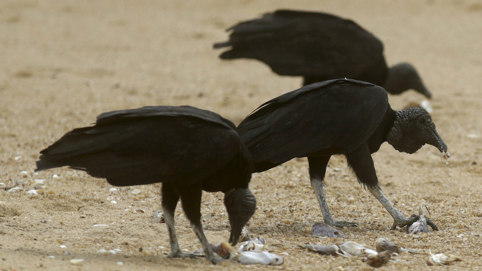 Vultures eat dead fish found on the beach of Povoacao Village, near the mouth of Rio Doce (Doce River), which was flooded with mud after a dam owned by Vale SA and BHP Billiton Ltd burst, at an area where the river joins the sea on the coast of Espirito Santo, Brazil, November 23, 2015.